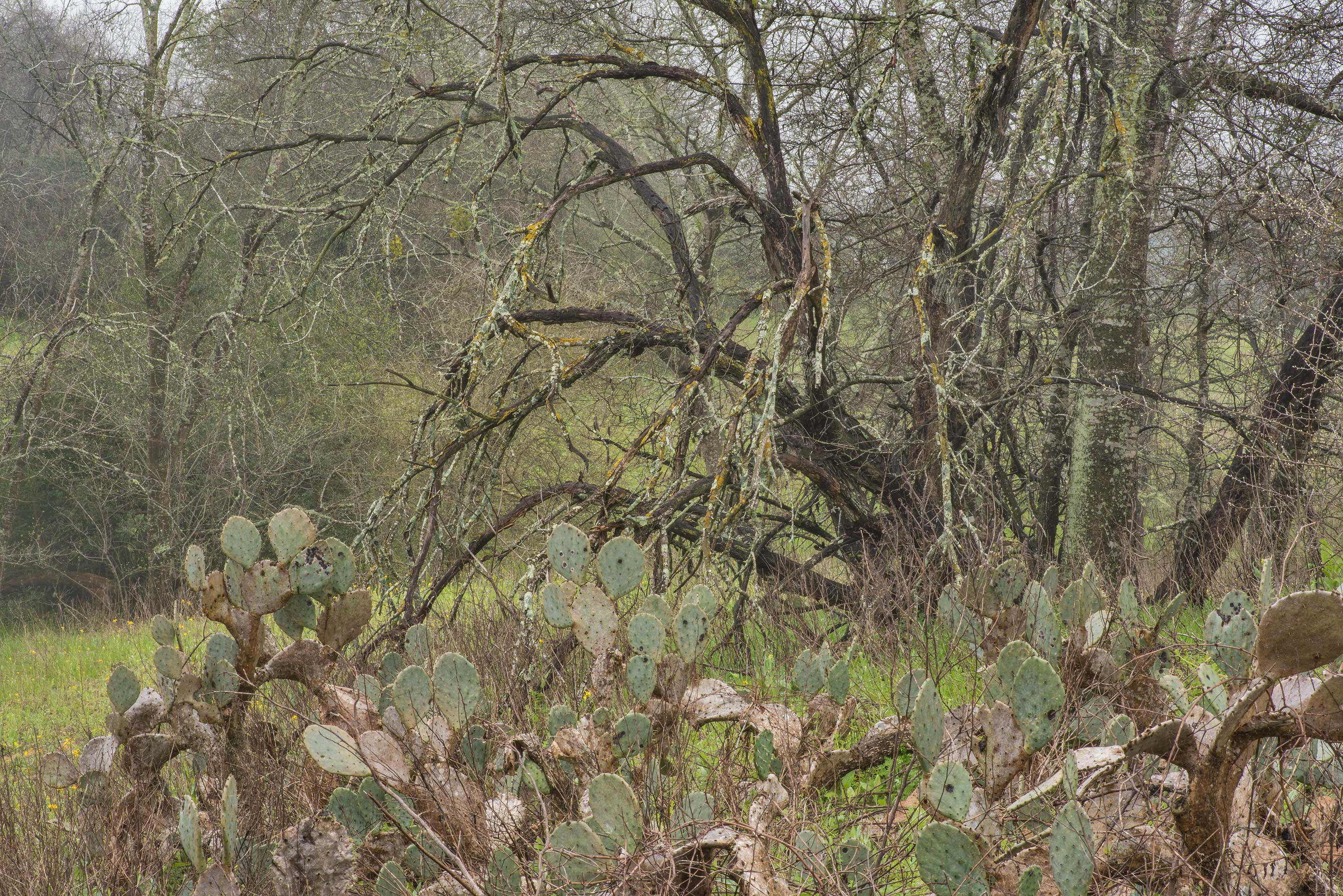 Prickly pear cacti and dry trees in Washington-on...State Historic Site. Washington, Texas