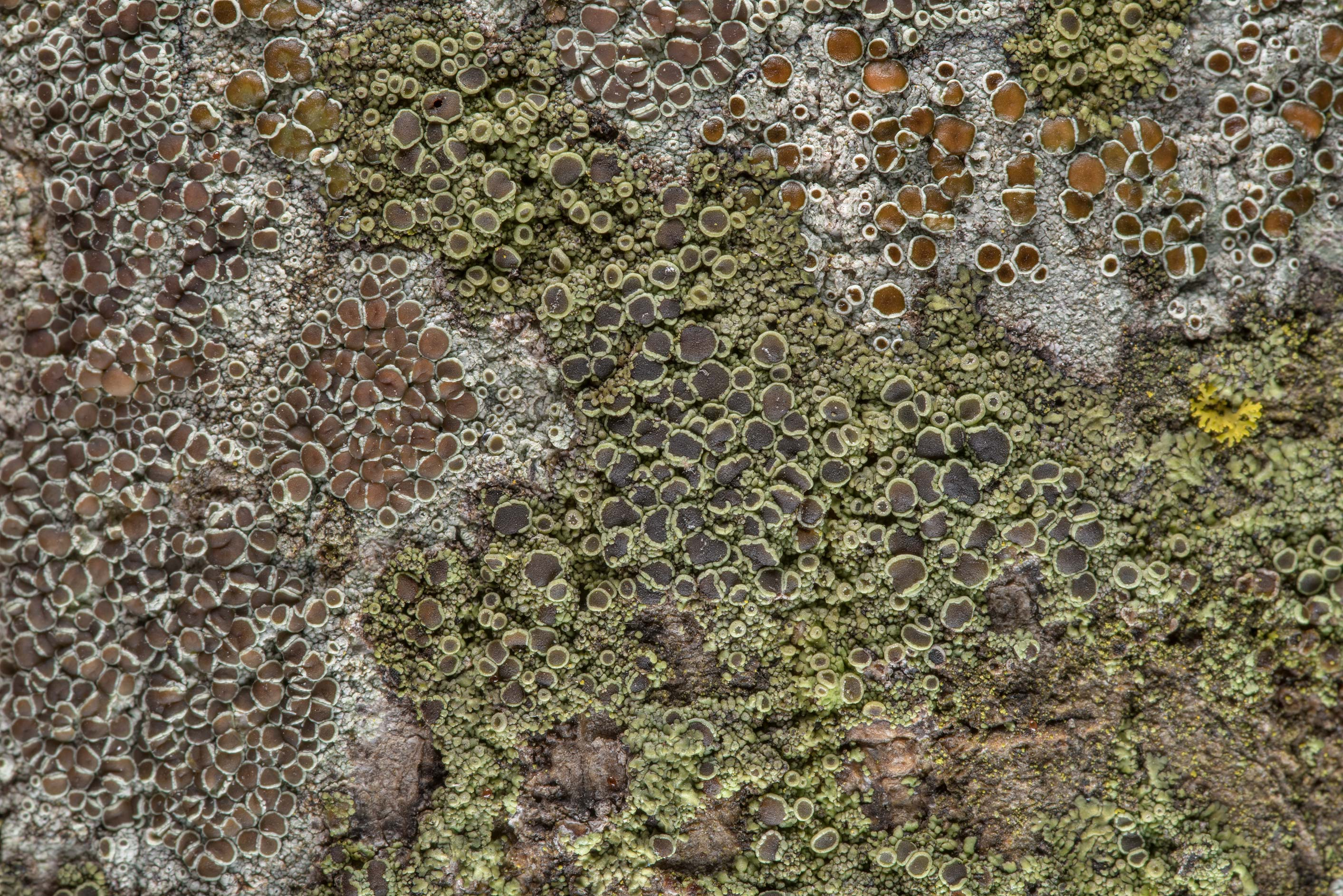 Smooth shadow-crust lichen (Hyperphyscia syncolla...Rose Emporium. Independence, Texas