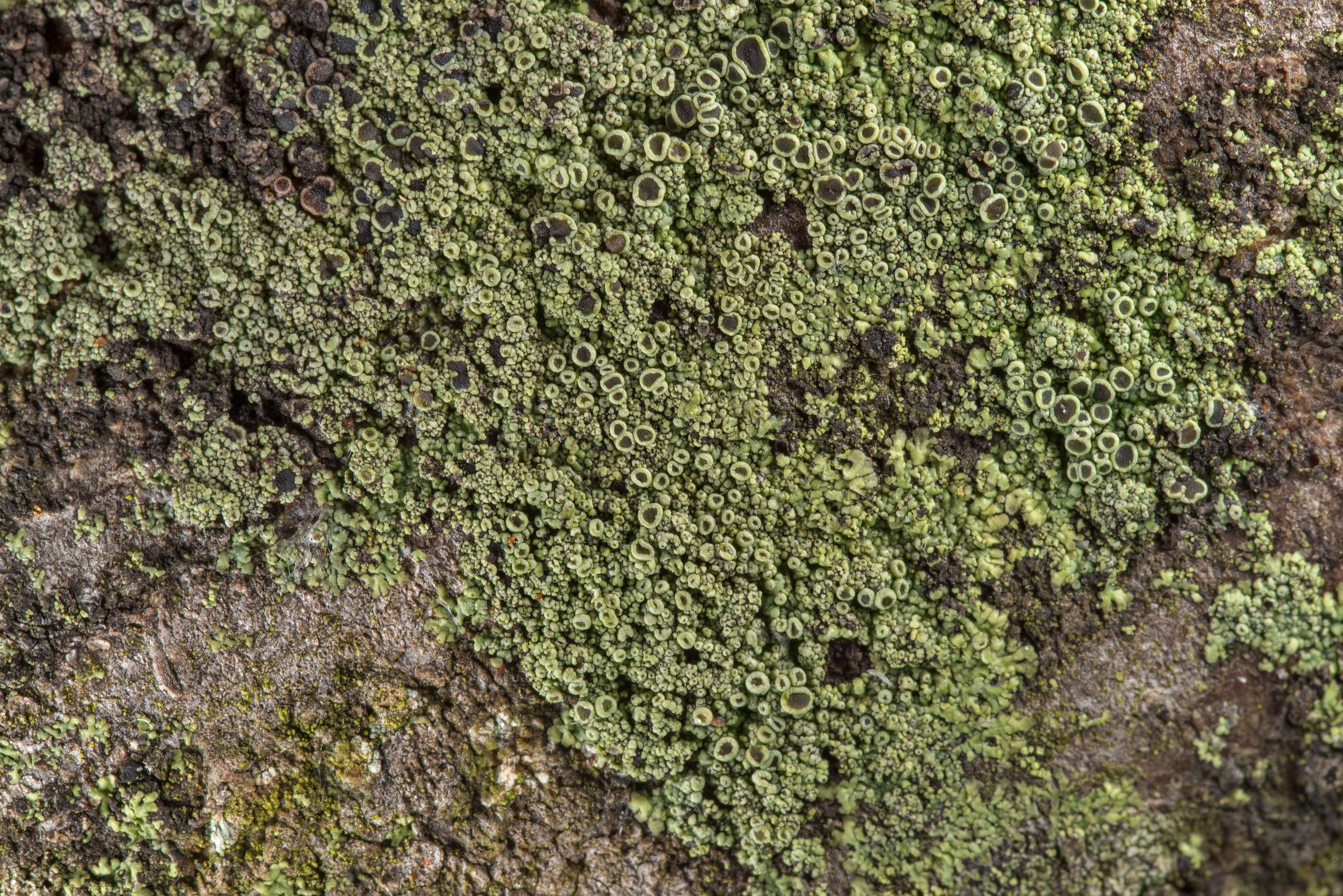 Olive green patch of smooth shadow-crust lichen...Rose Emporium. Independence, Texas