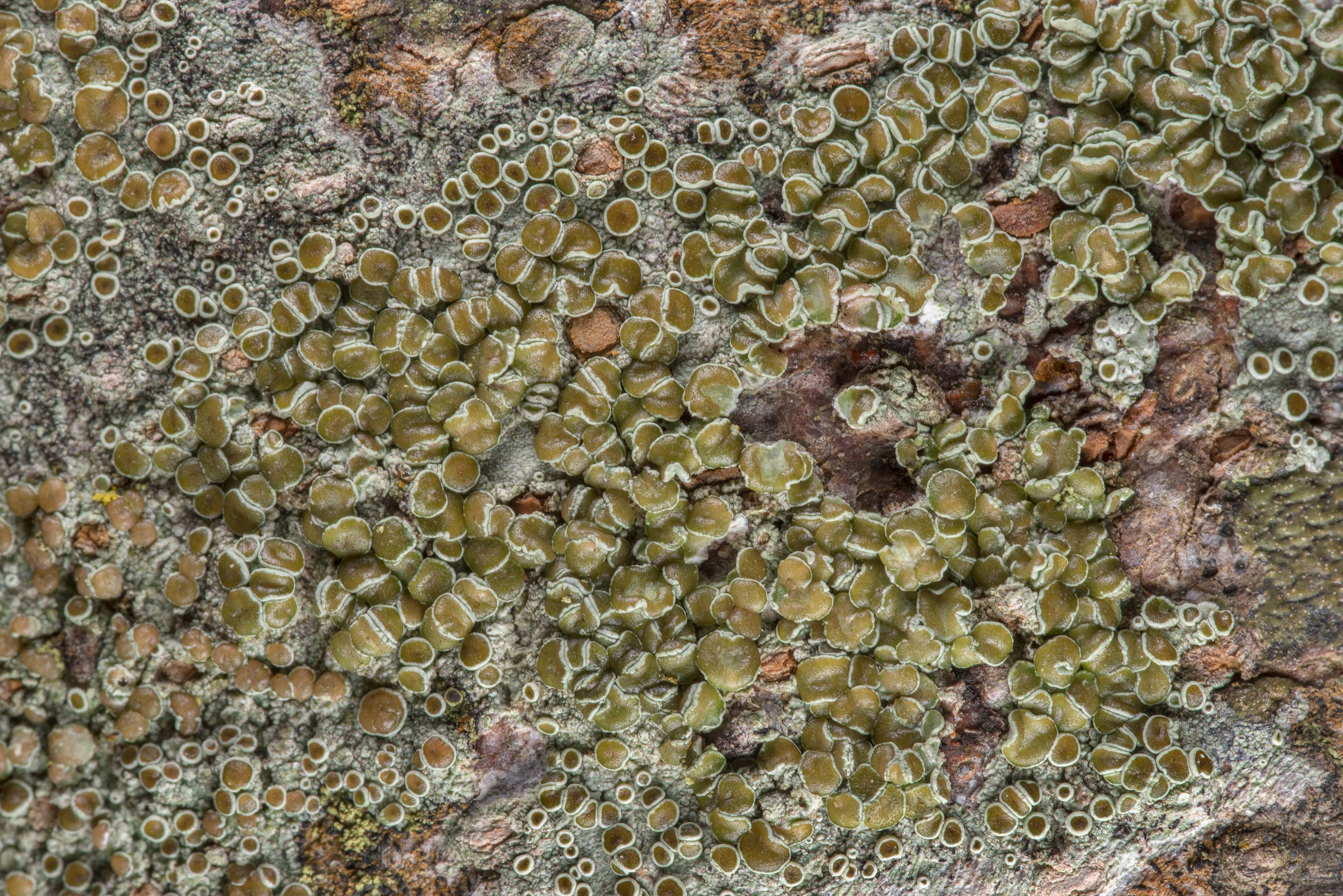 Close up of brown-eyed rim-lichen (Lecanora...Rose Emporium. Independence, Texas