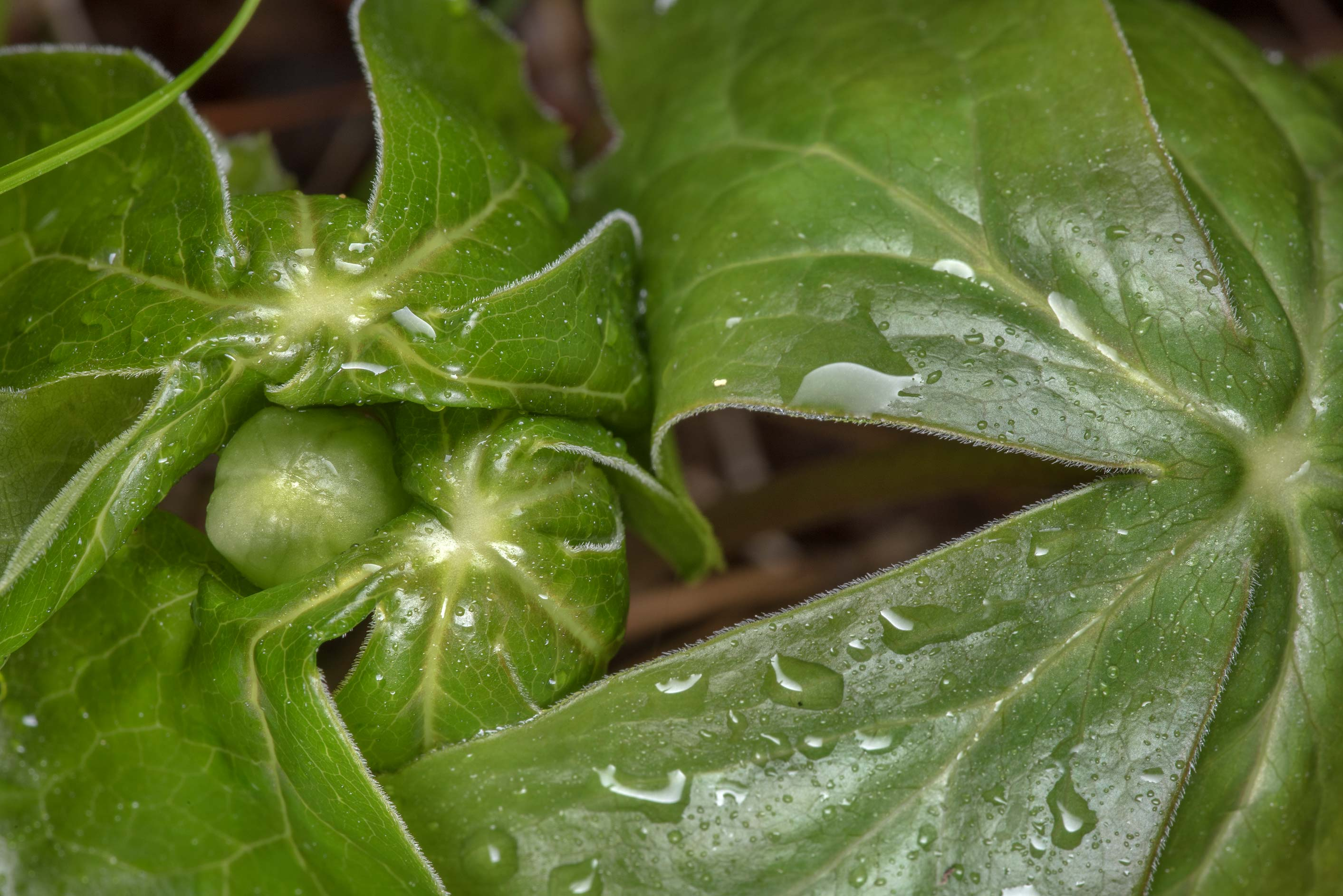Leaves and a flower bud of apple (Podophyllum...National Forest. Richards, Texas