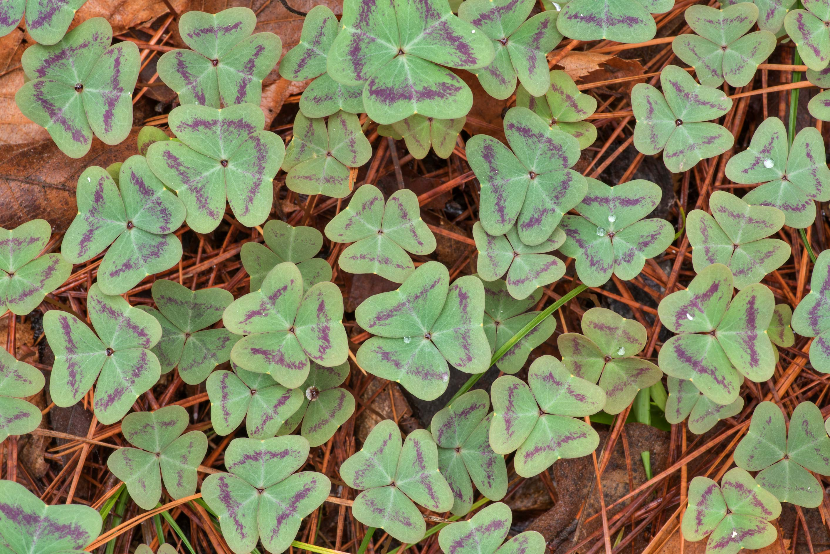 Pattern of leaves of violet woodsorrel (Oxalis...National Forest. Richards, Texas