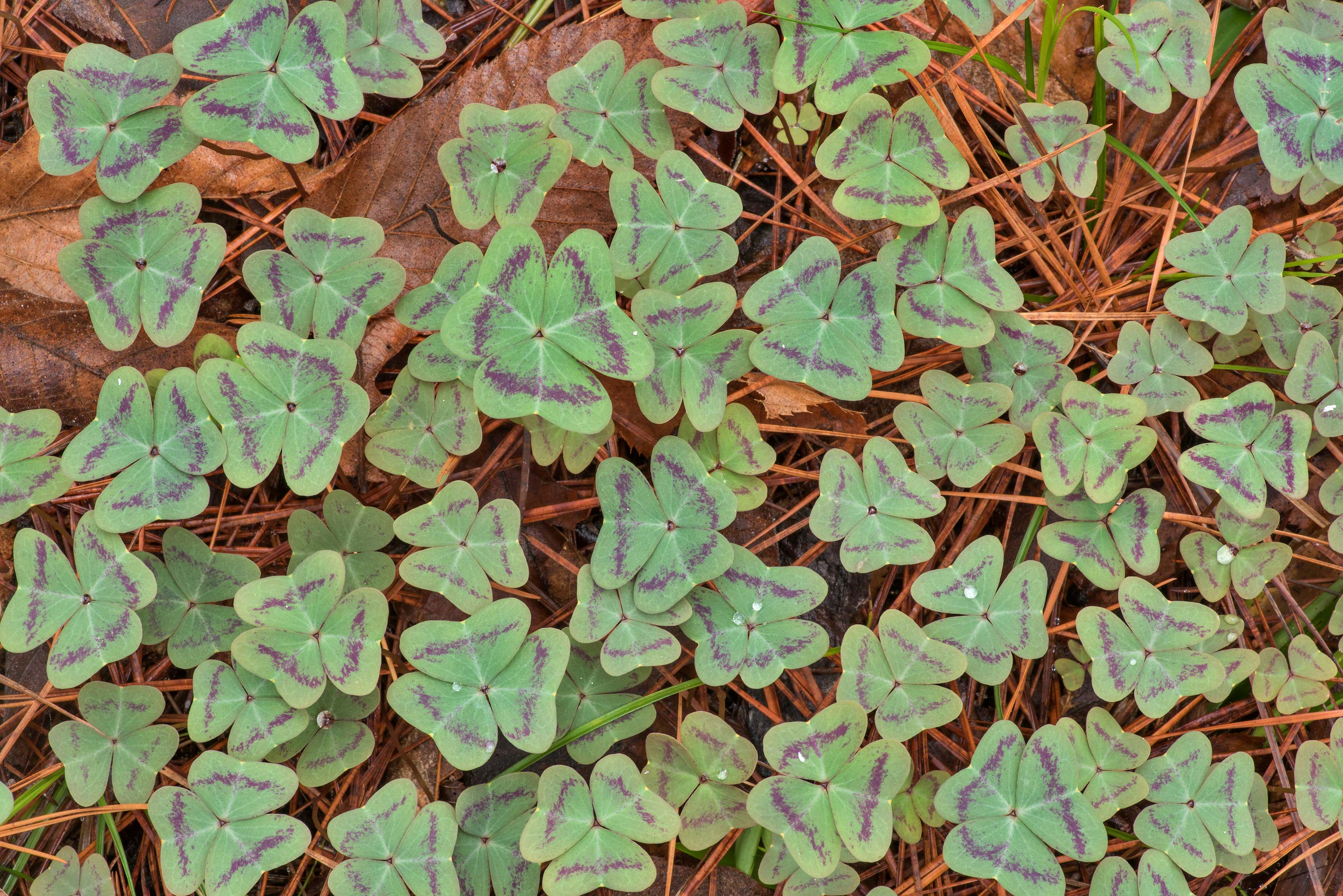 Carpet of leaves of violet woodsorrel (Oxalis...National Forest. Richards, Texas