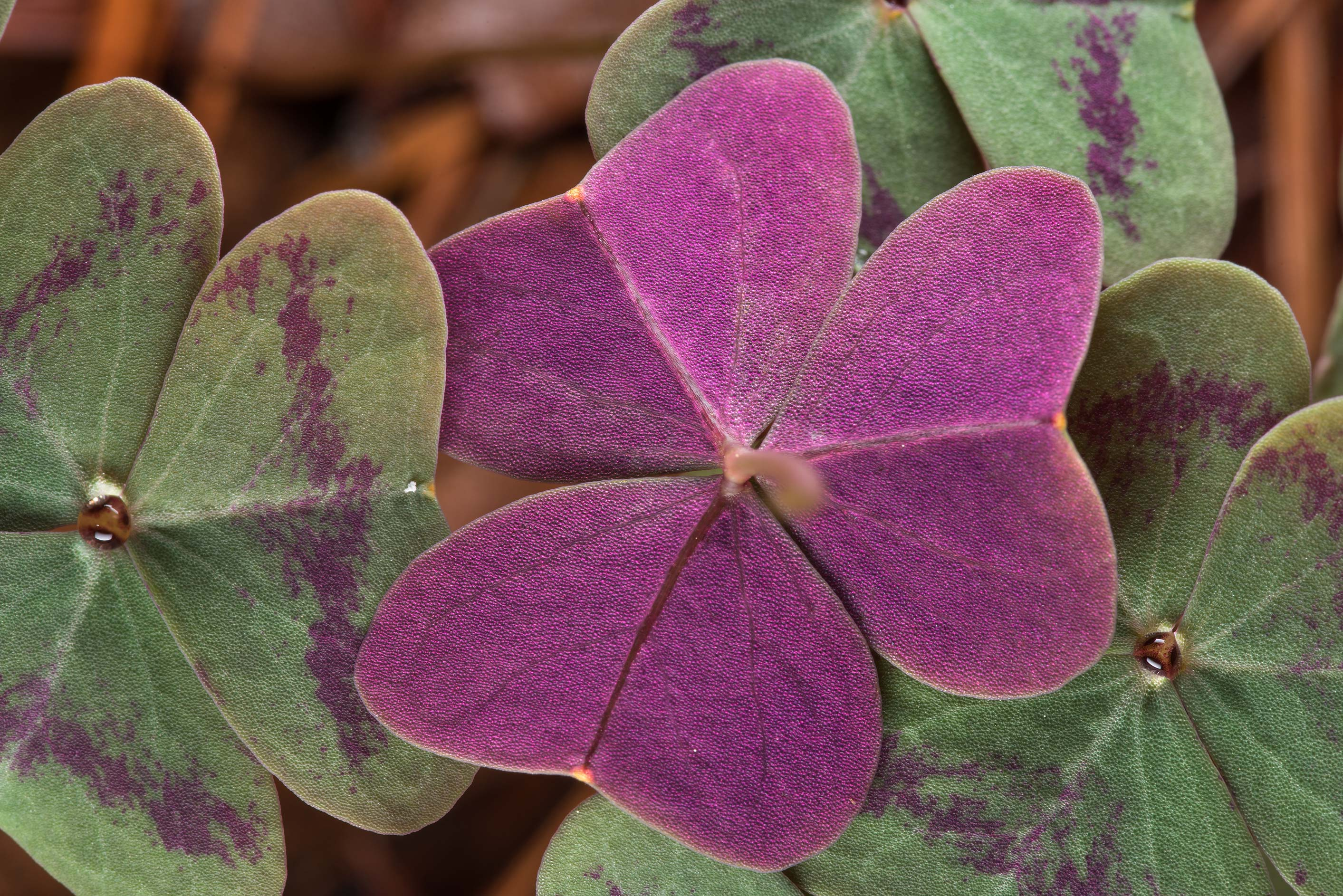 Underside of a leaf of violet woodsorrel (Oxalis...National Forest. Richards, Texas