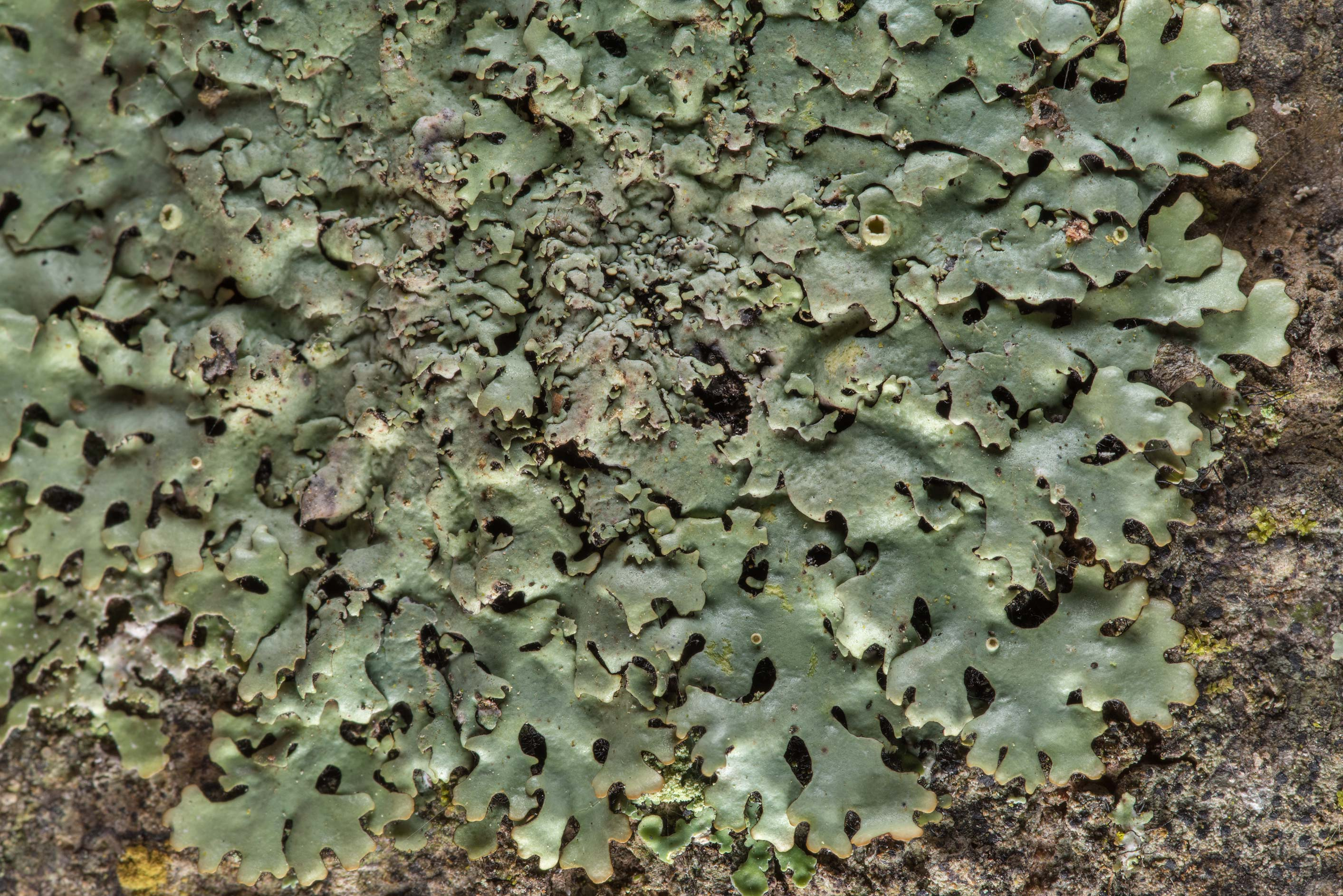 Wrinkled loop lichen (Hypotrachyna livida) on...National Forest near Huntsville. Texas