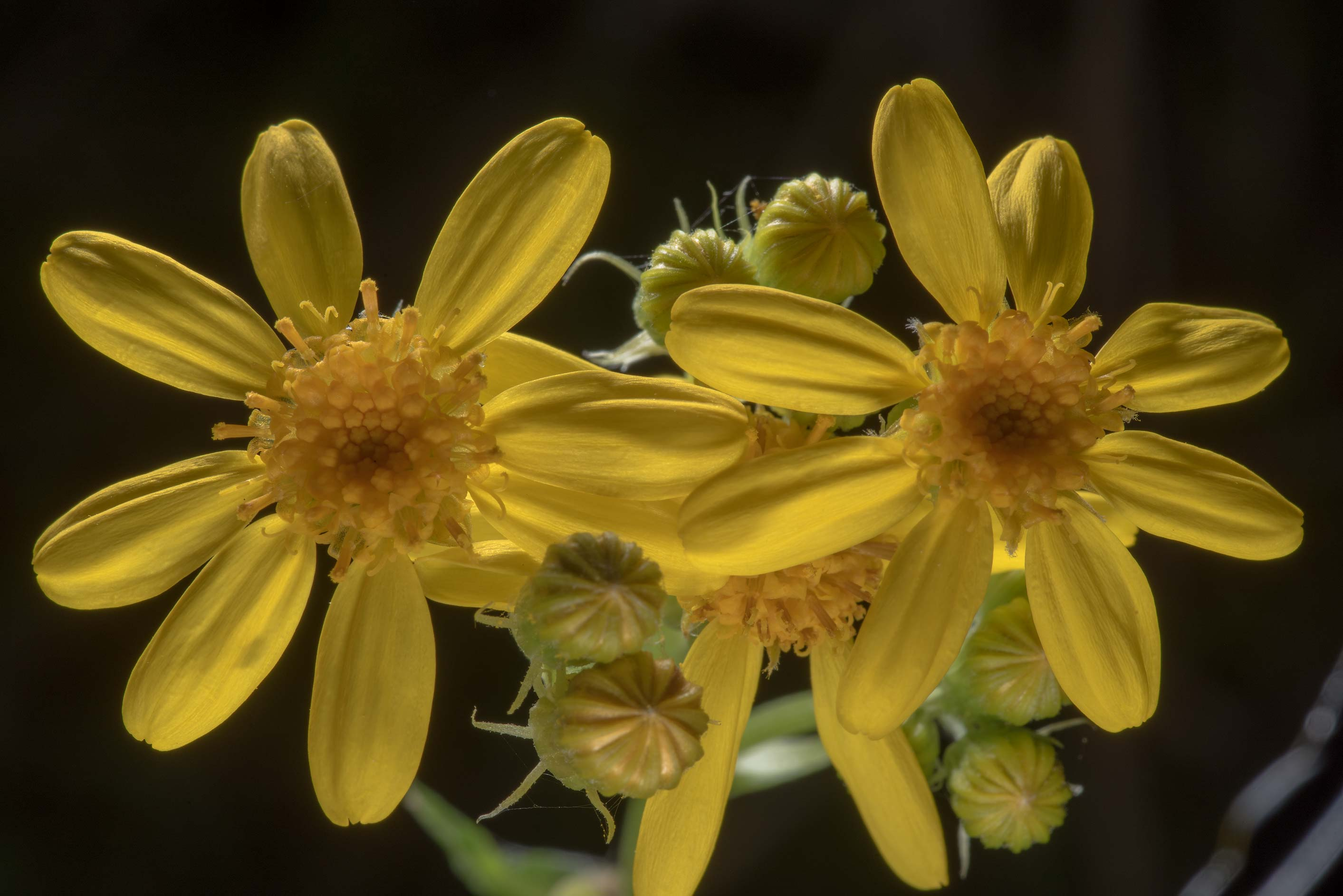 Flowers of squaw-weed (Senecio ampullaceus) in...State Historic Site. Washington, Texas