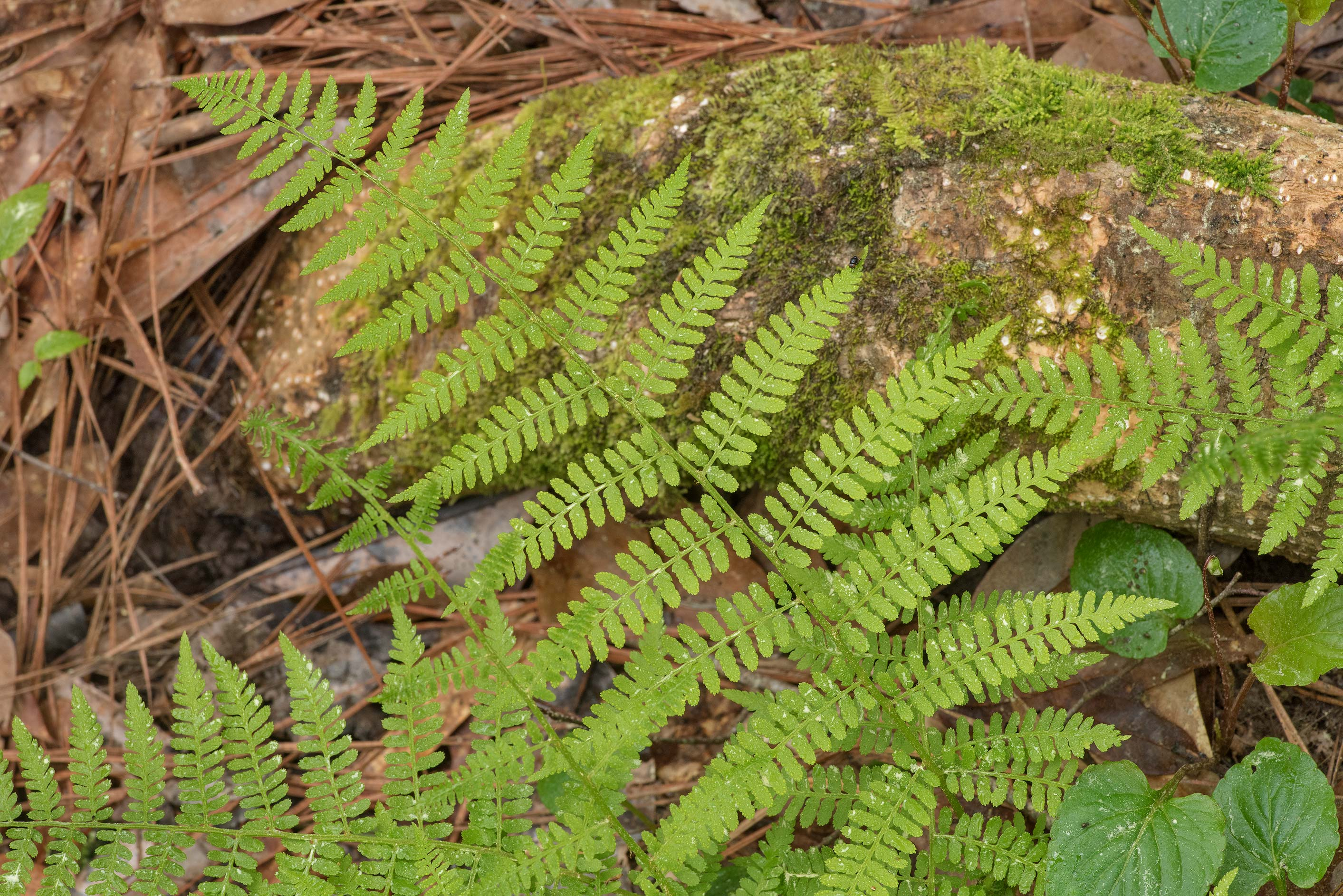 Common lady-fern (Athyrium filix-femina) in Big...National Forest. Shepherd, Texas