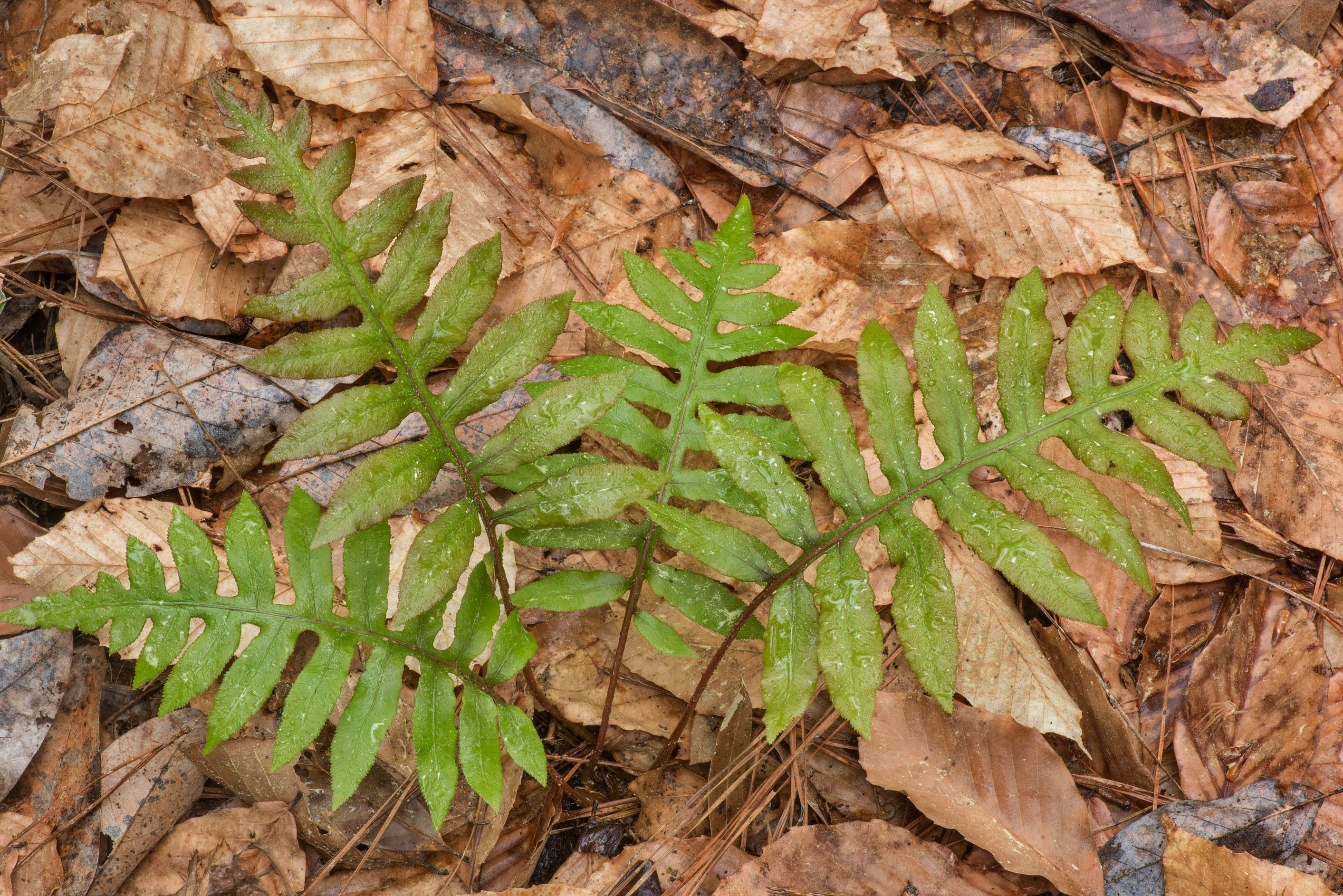 Emerging plant of netted chainfern (Woodwardia...National Forest. Shepherd, Texas