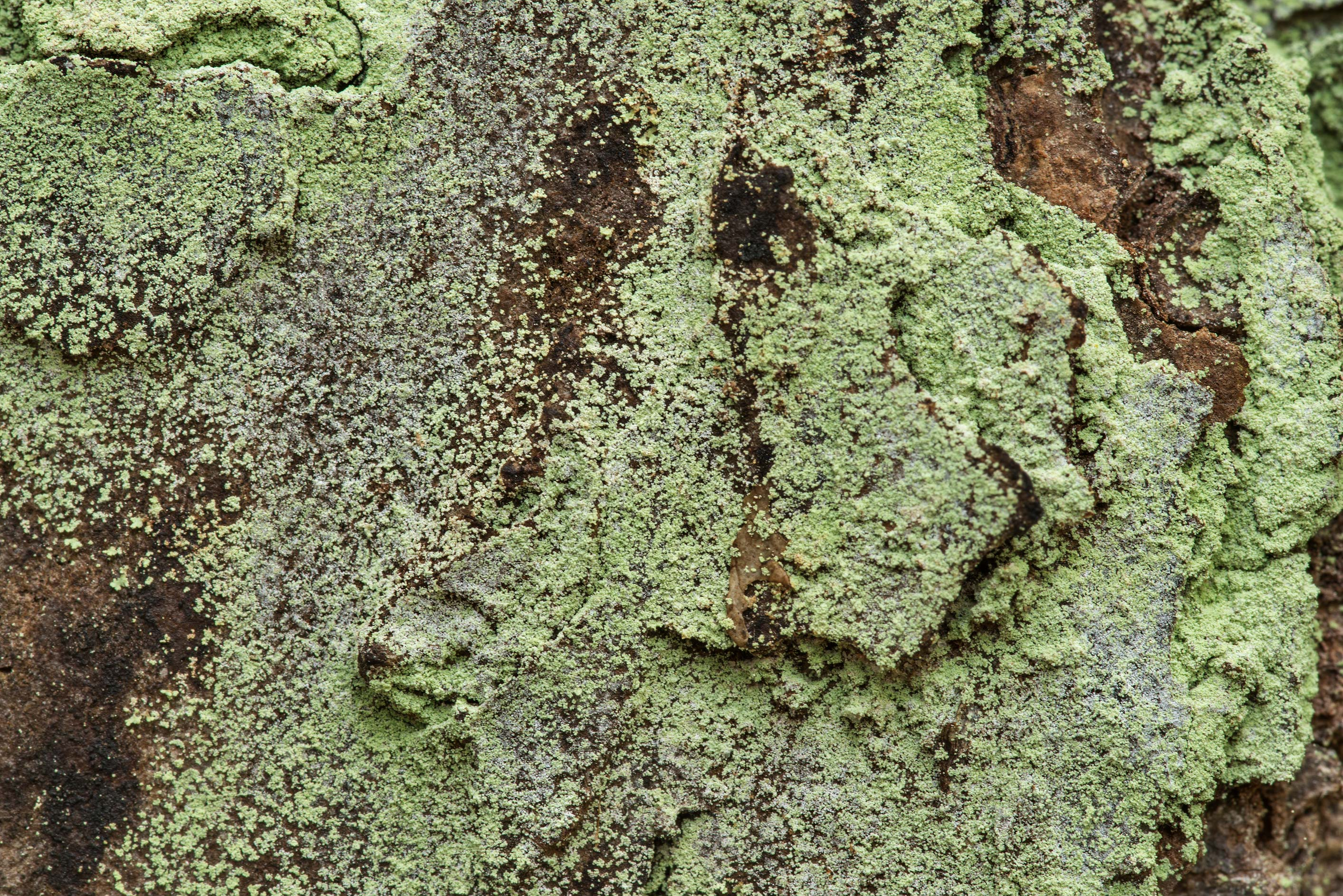 Dust lichen (Lepraria) on pine bark in Big Creek...National Forest. Shepherd, Texas
