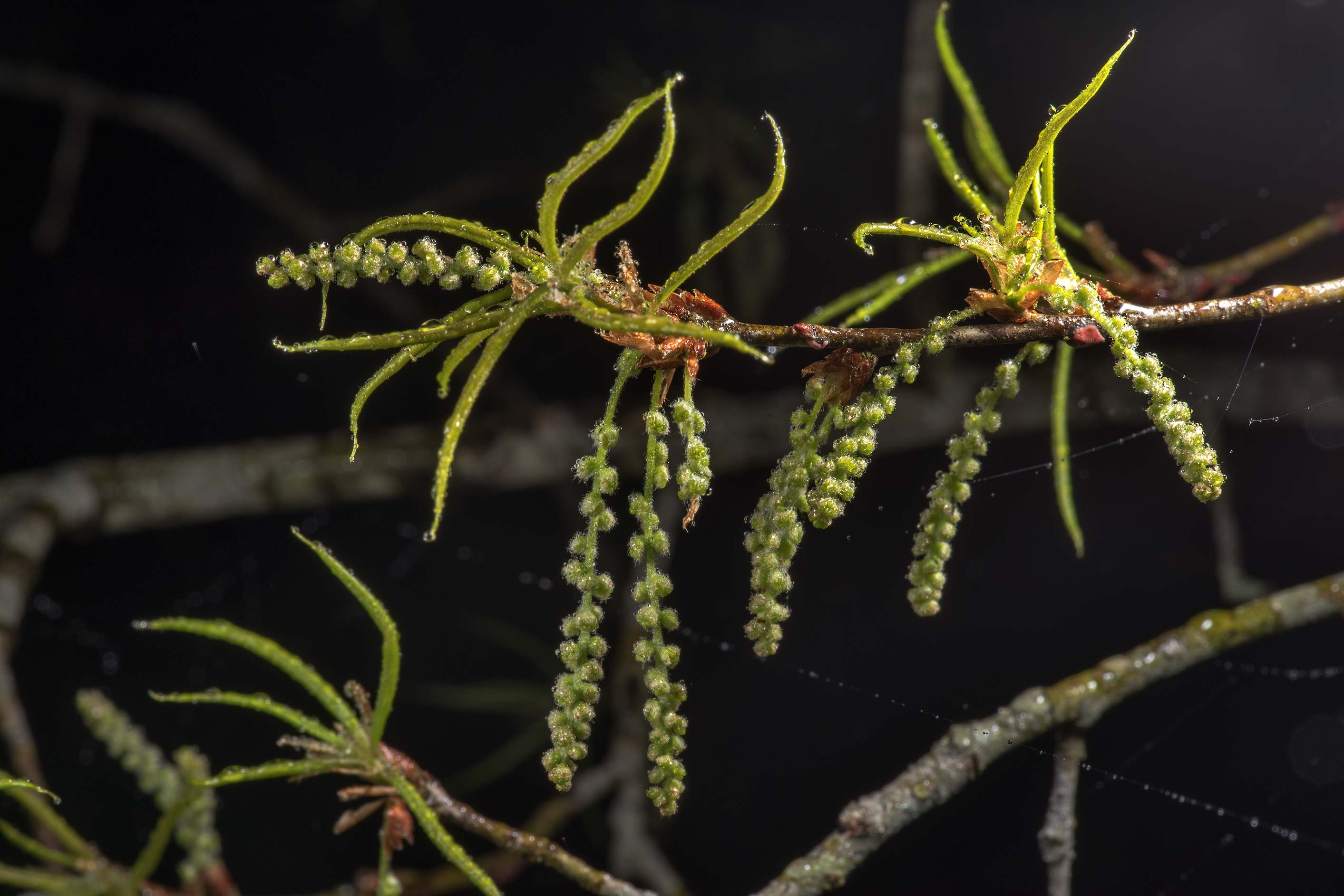 Young leaves and catkins of willow oak (Quercus...Creek Park. College Station, Texas