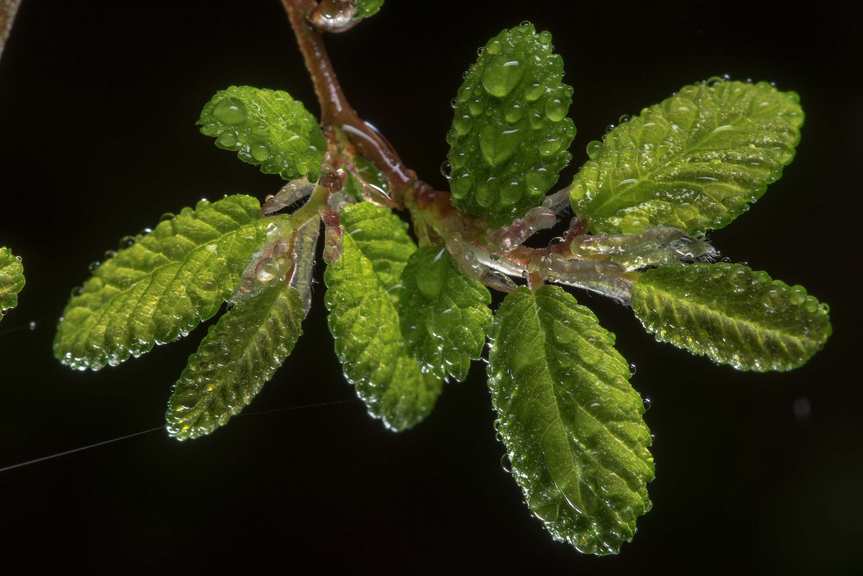 Elm leaves in dew in Lick Creek Park. College Station, Texas
