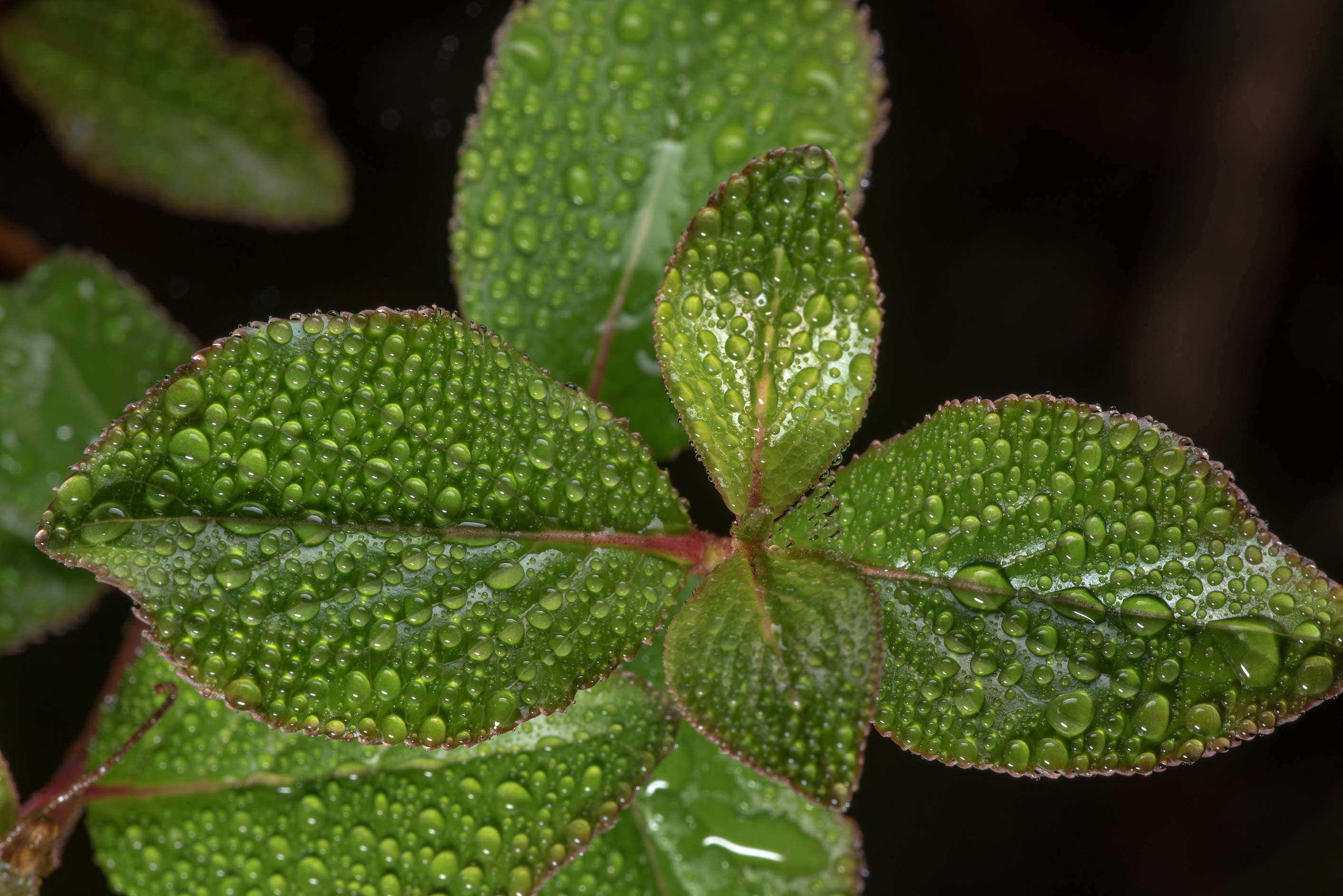 Some fresh leaves in dew in Lick Creek Park. College Station, Texas