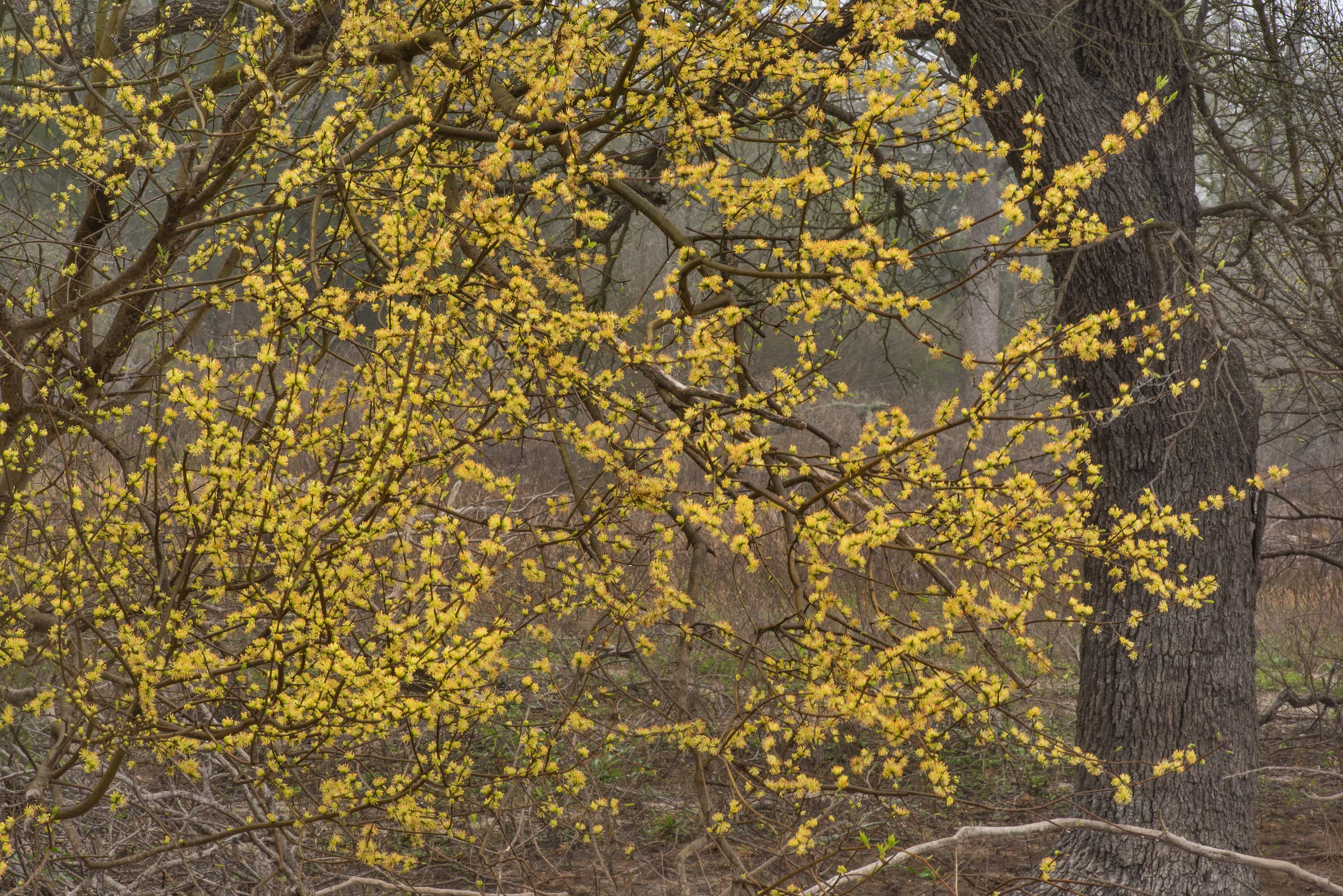 Yellow flowers on a small tree near the lake at...of Somerville Lake State Park. Texas