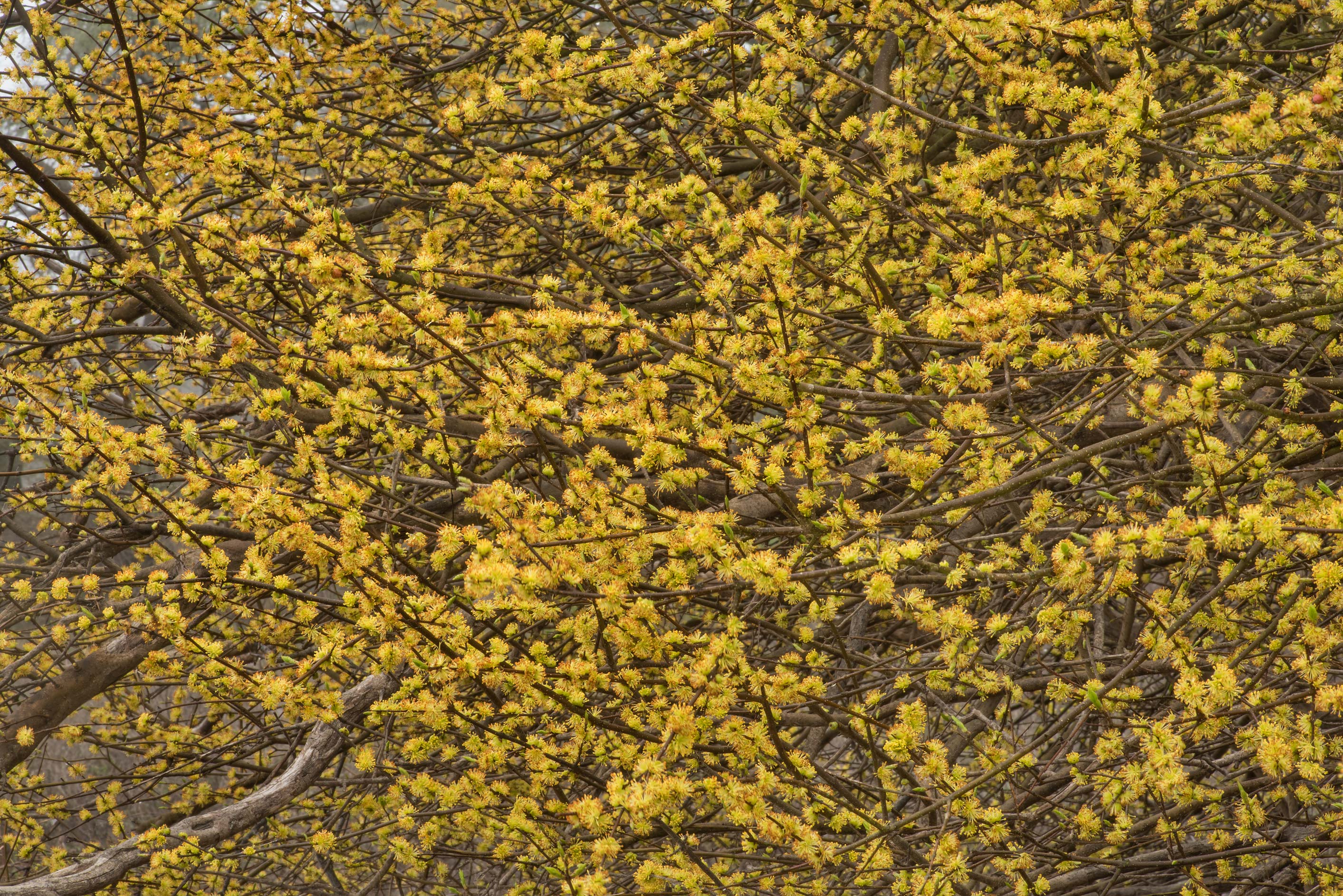 Masses of yellow flowers on a small tree near the...of Somerville Lake State Park. Texas