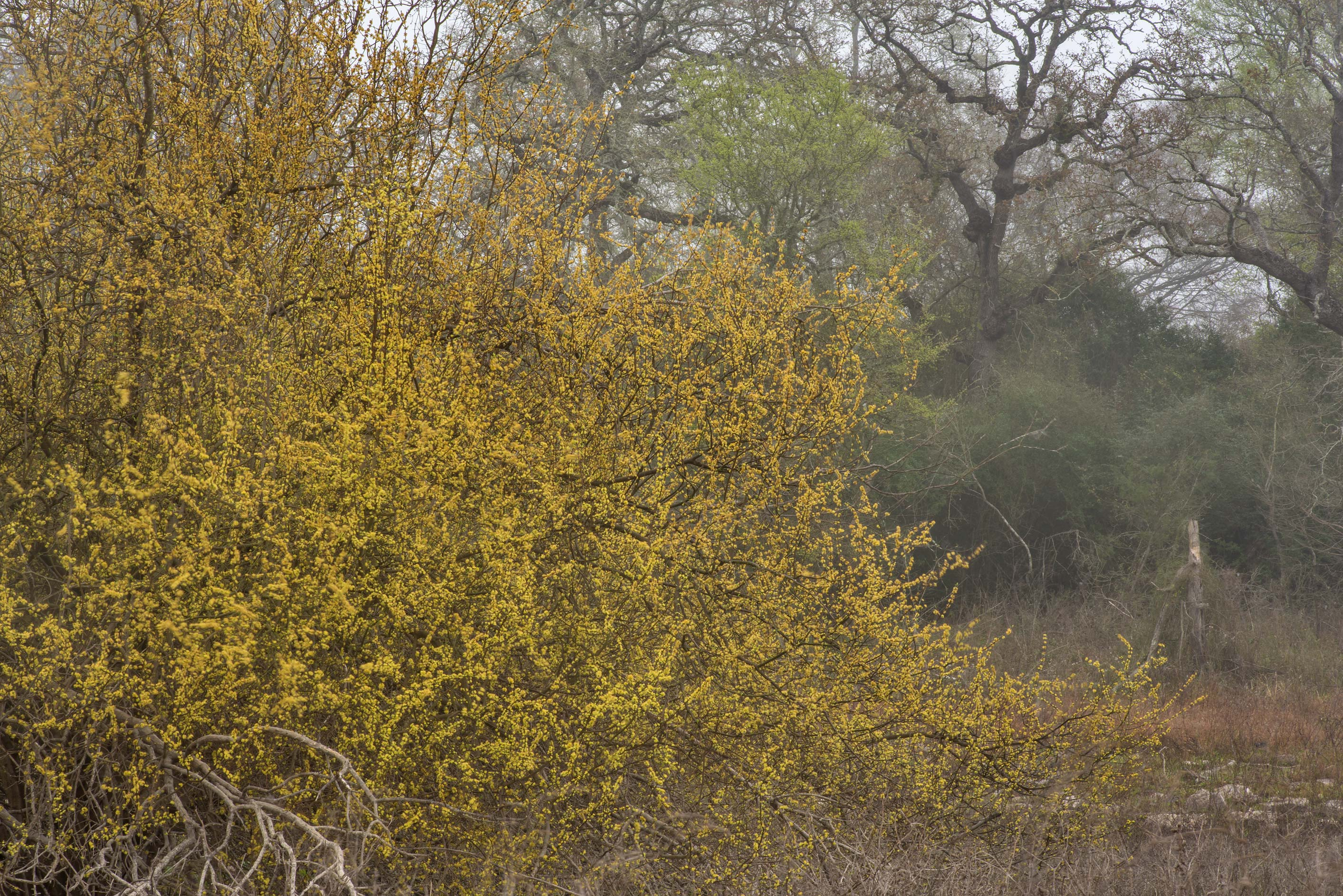 Masses of yellow flowers on a bush of eastern...of Somerville Lake State Park. Texas