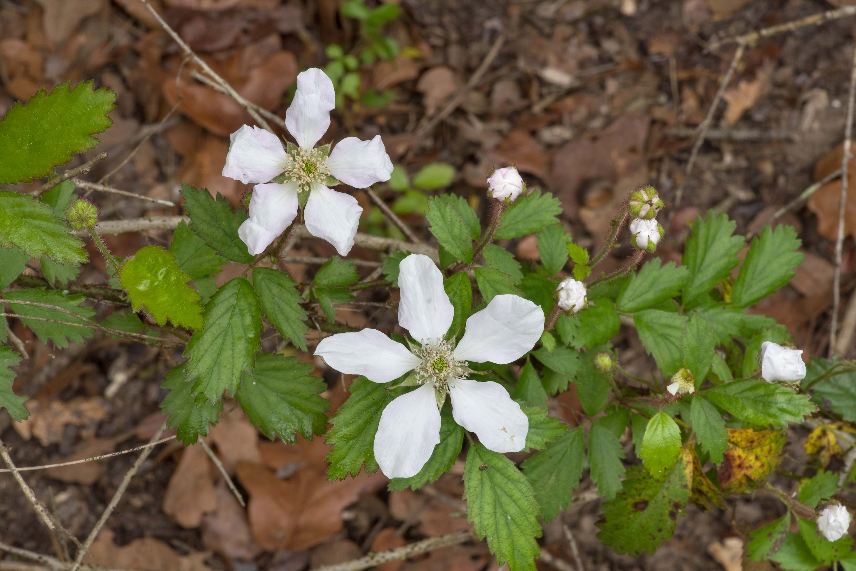 Blooming blackberry at Lake Somerville Trailway...of Somerville Lake State Park. Texas