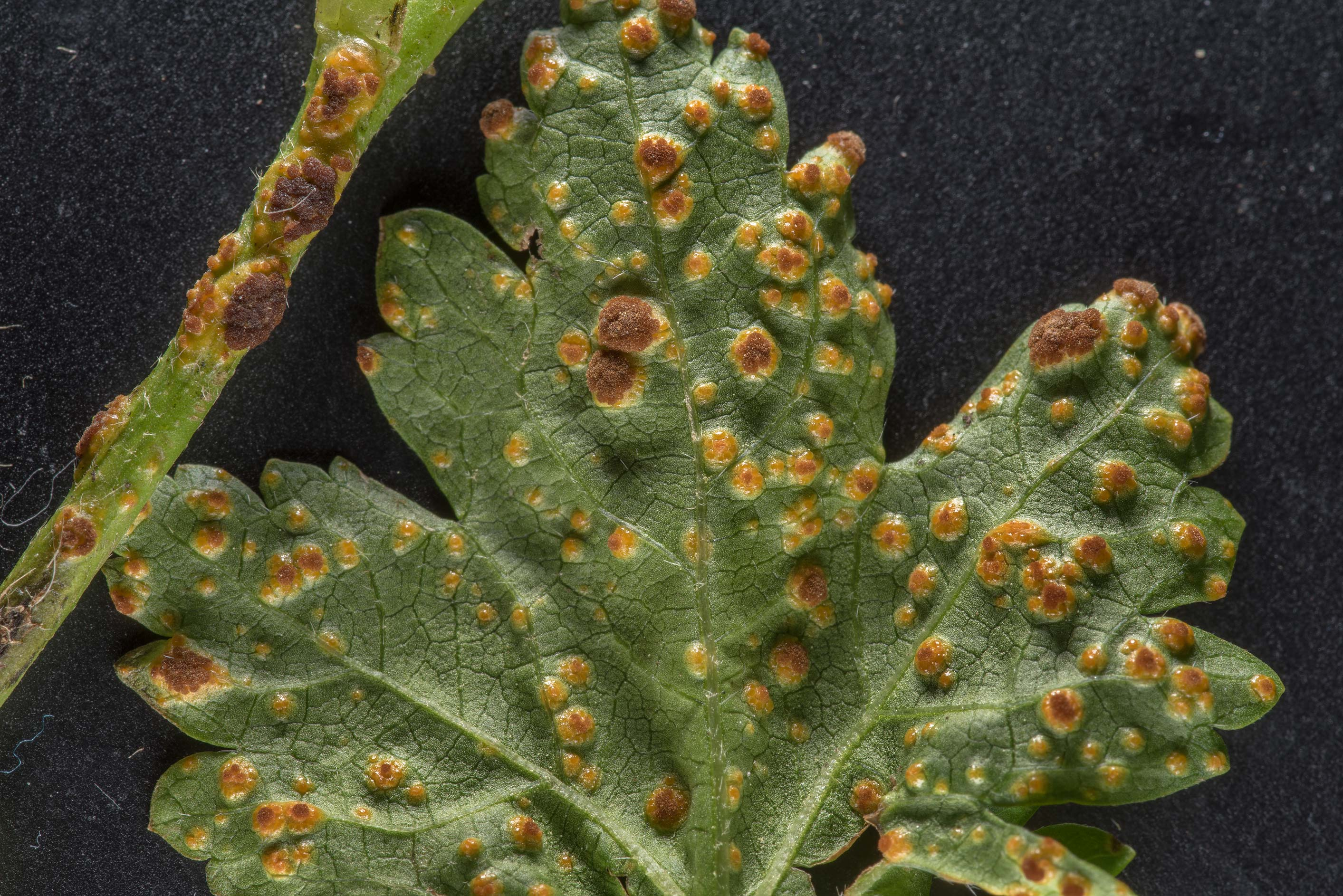 Blister-like pustules of hollyhock or mallow rust...Bush Dr.. College Station, Texas