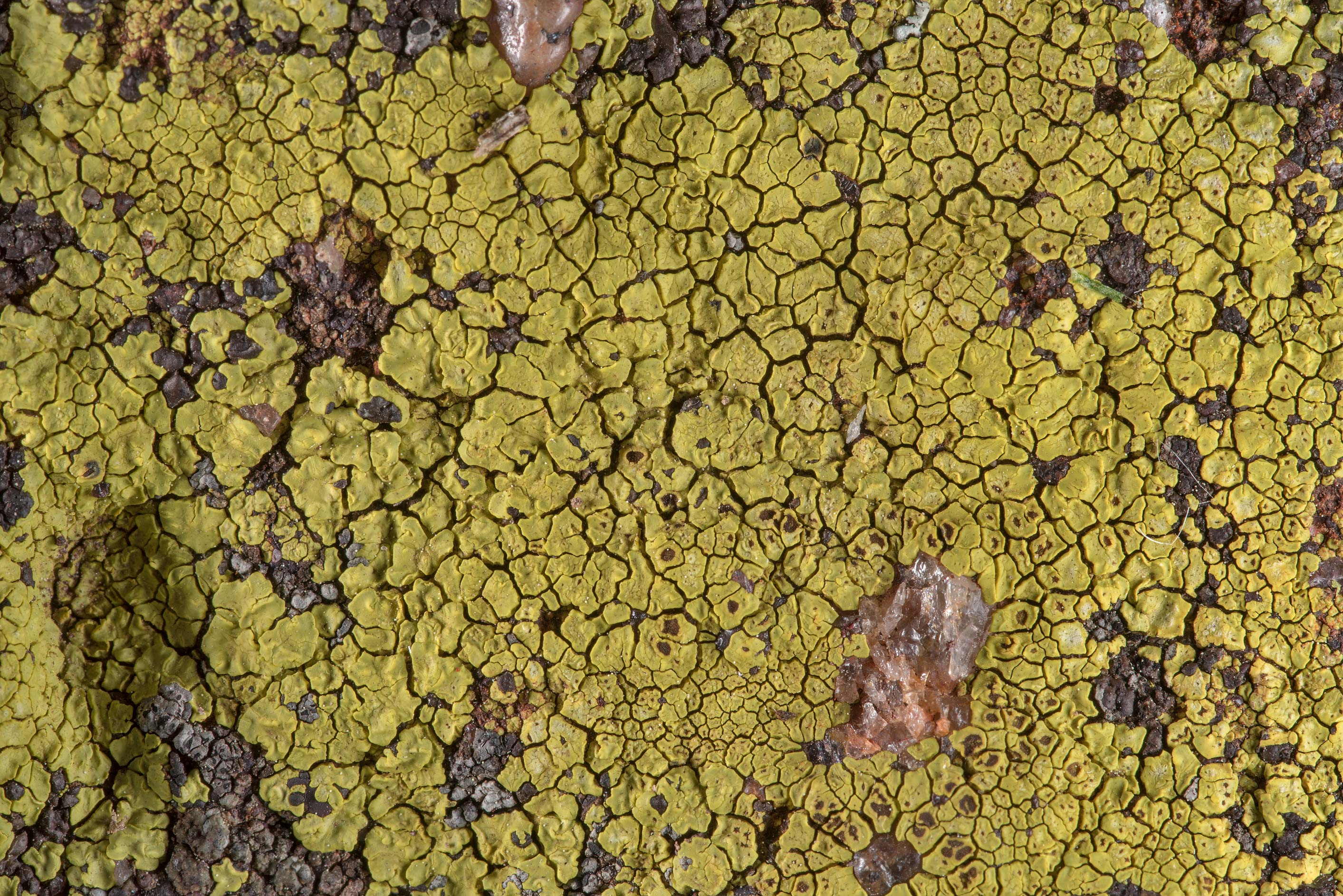 Close up of yellow cobblestone lichen Acarospora...in Bastrop State Park. Bastrop, Texas