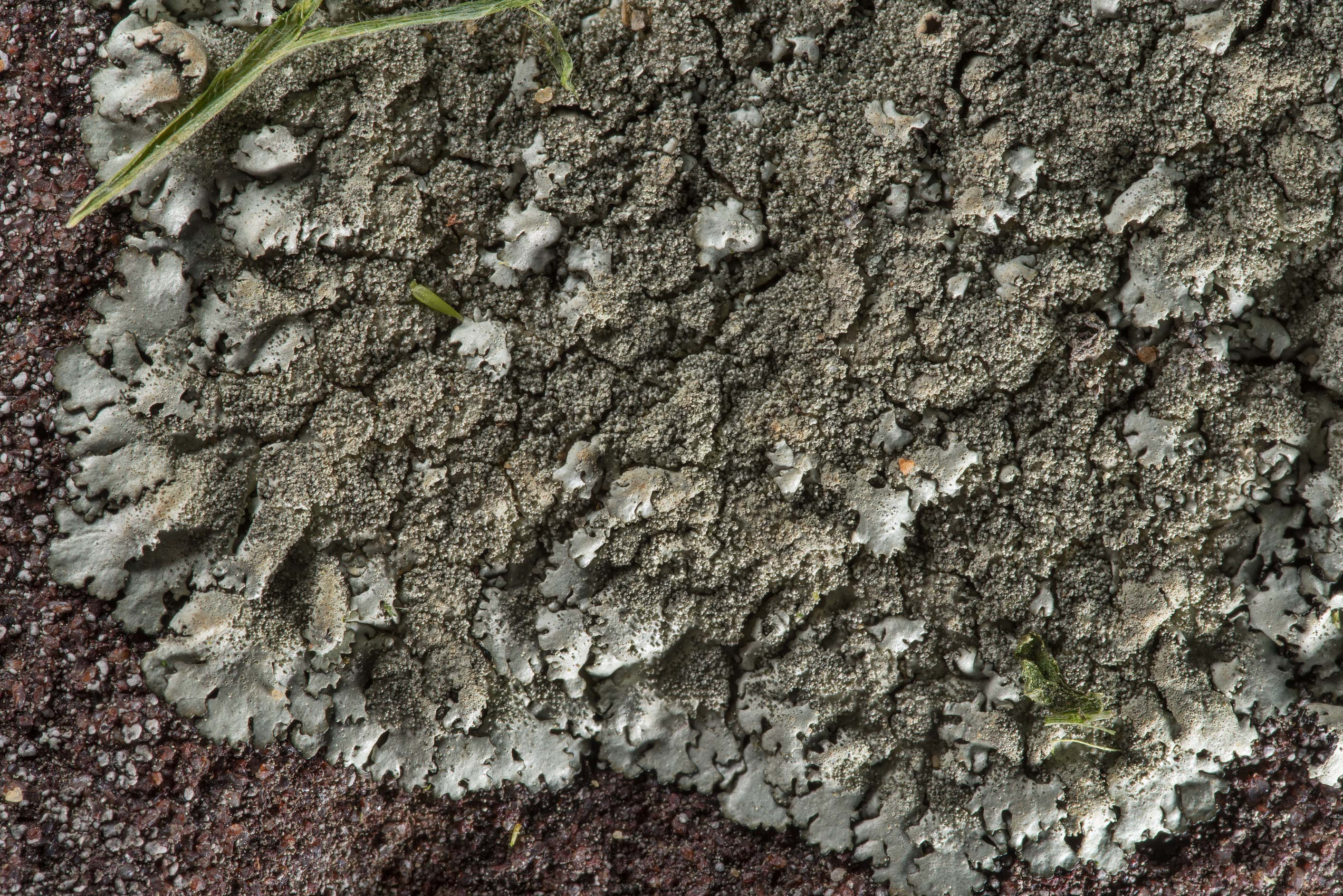 Peppered rock-shield lichen (Xanthoparmelia...in Bastrop State Park. Bastrop, Texas