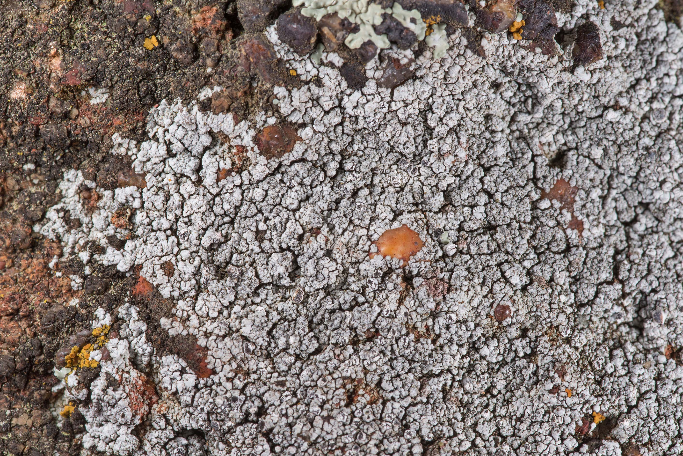 Some grey crustous lichen on sandstone of Lost...in Bastrop State Park. Bastrop, Texas