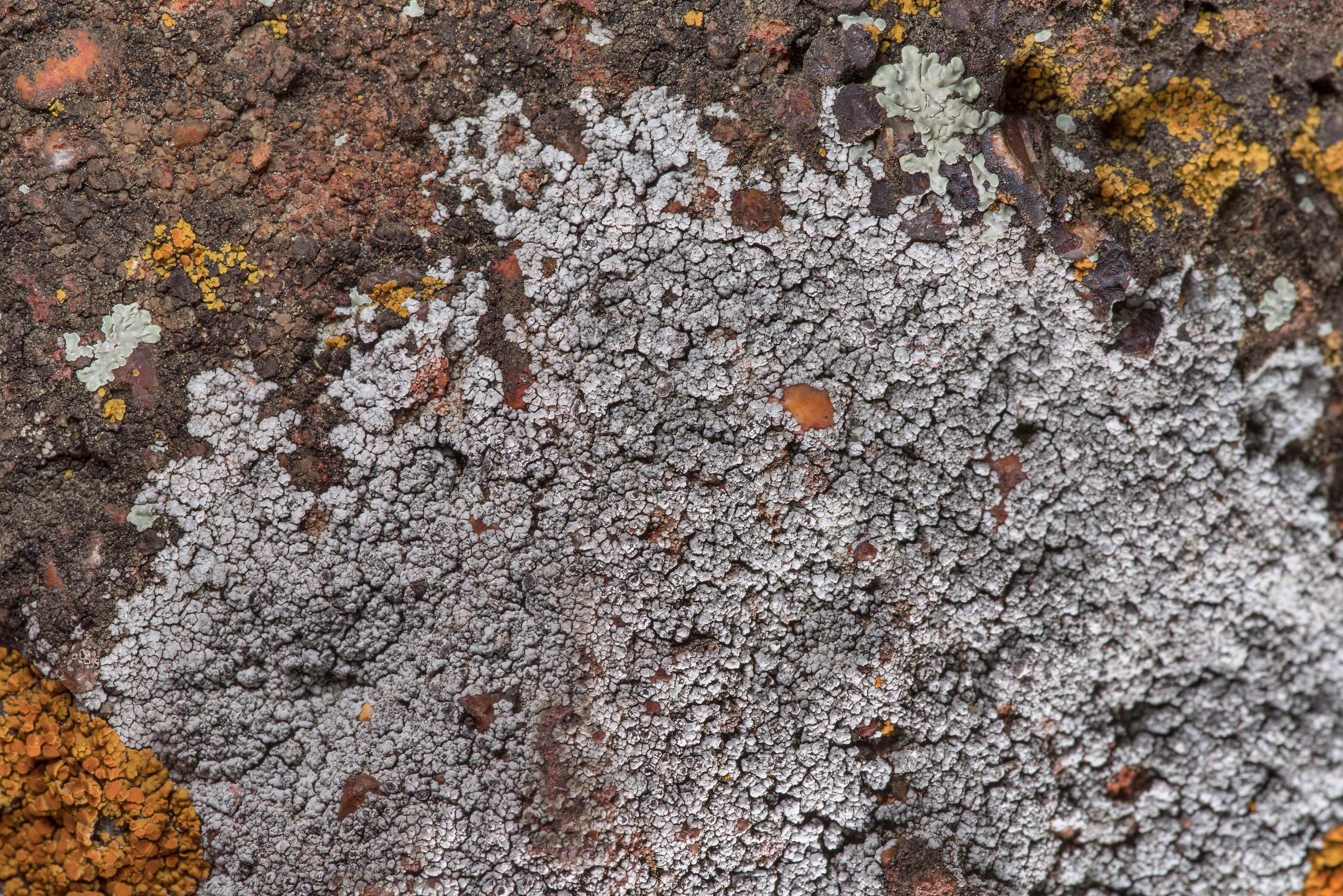 Grey crustous lichen and Caloplaca on sandstone...in Bastrop State Park. Bastrop, Texas