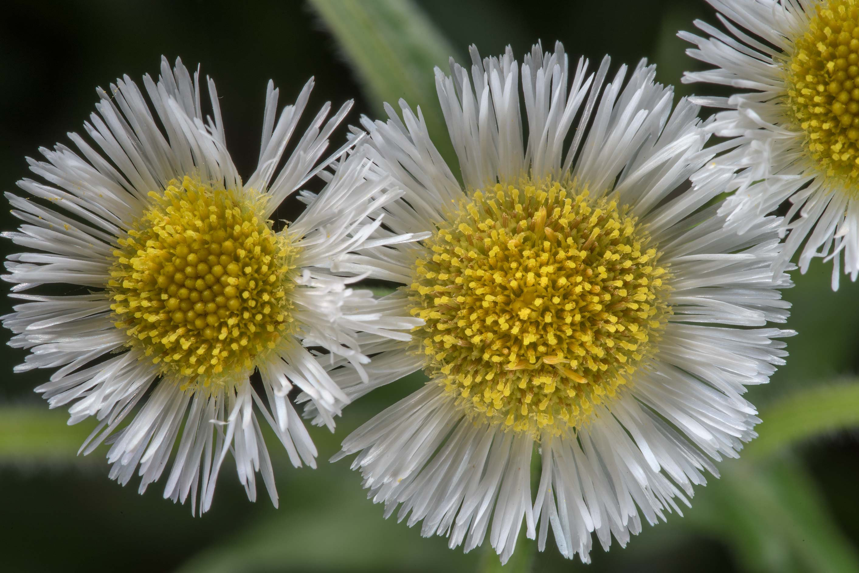 Philadelphia fleabane (Erigeron philadelphicus...Creek Park. College Station, Texas
