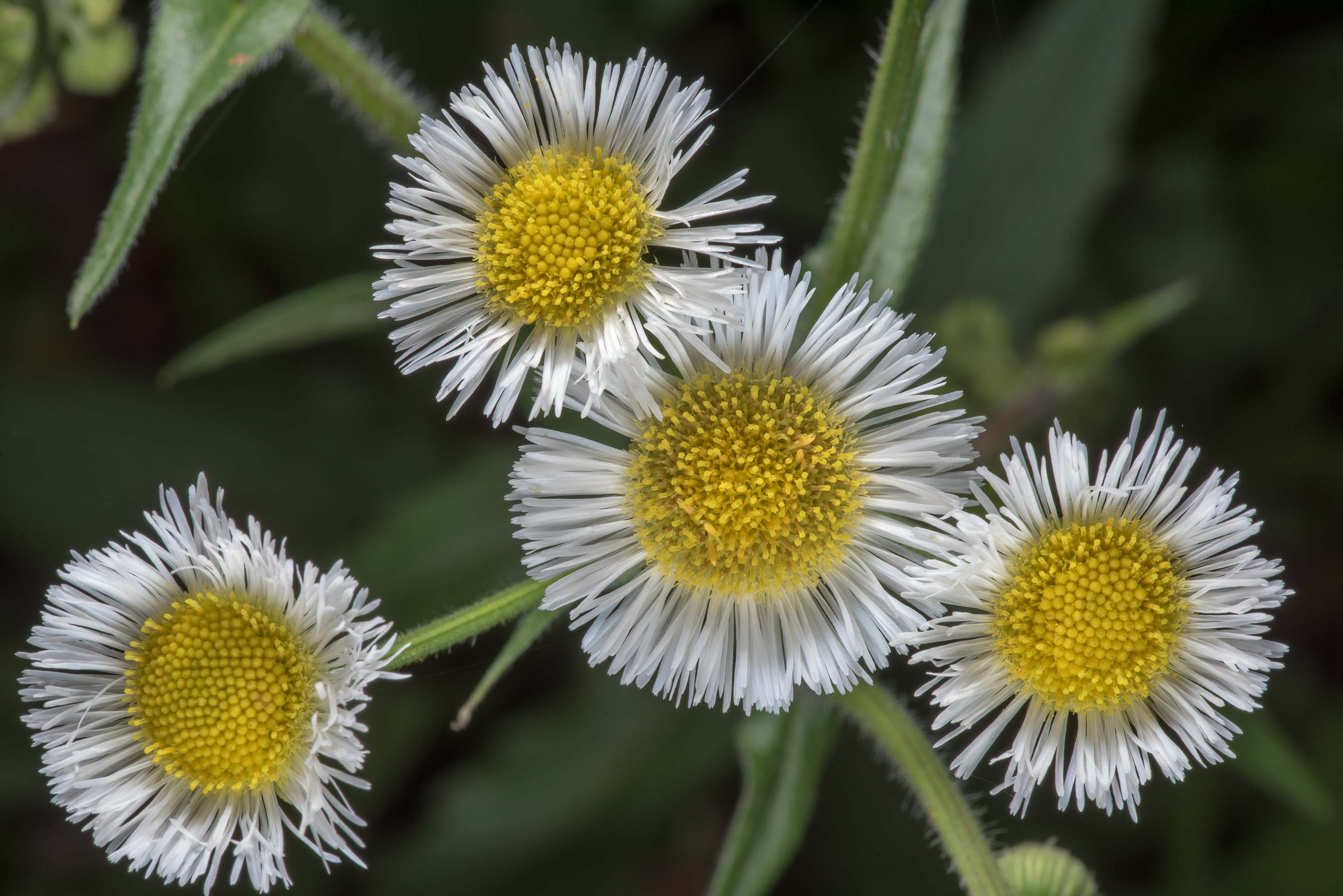 Flowers of Philadelphia fleabane (Erigeron...Creek Park. College Station, Texas