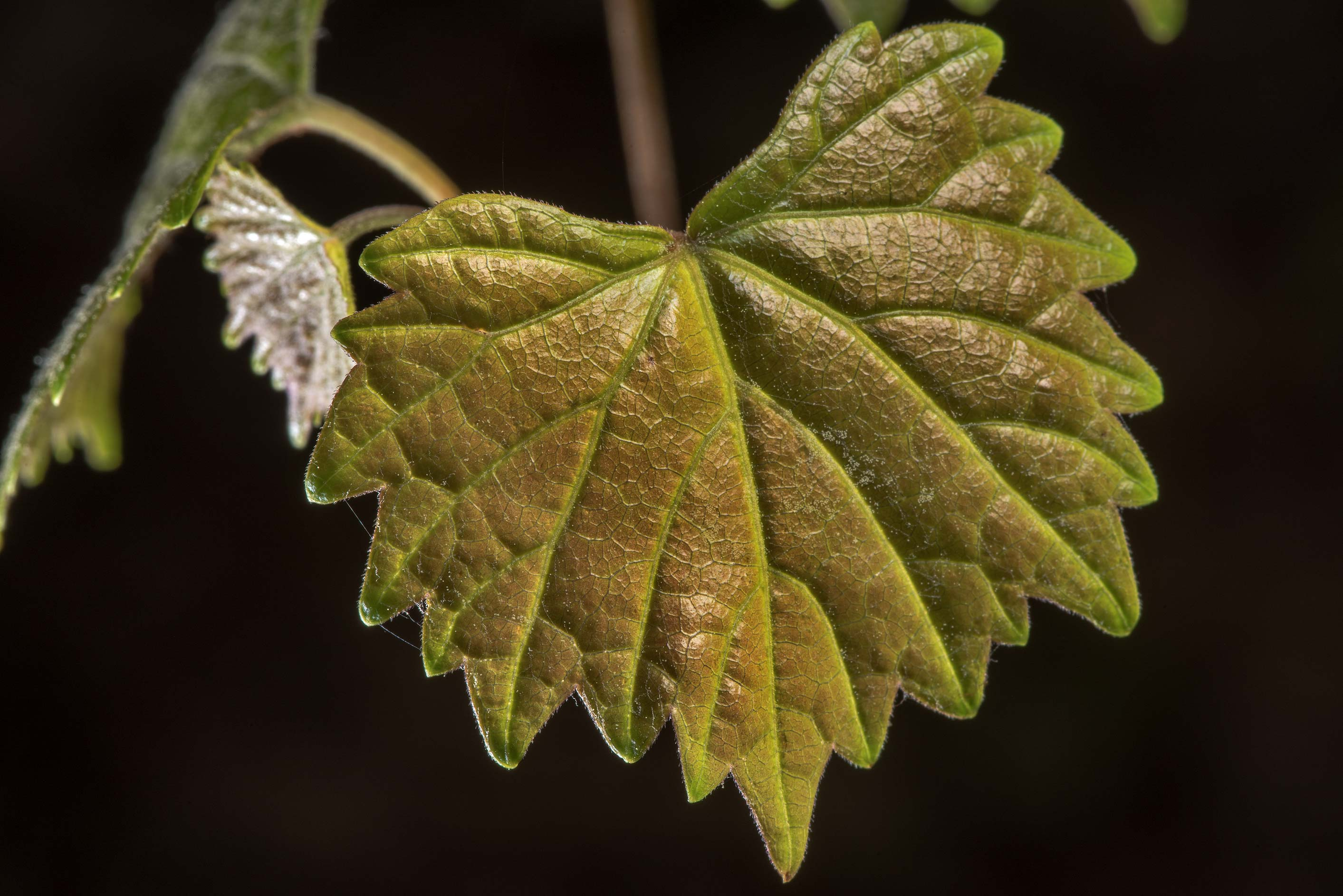 Leaf of Muscadine Grape (Vitis rotundifolia) on...National Forest near Huntsville. Texas