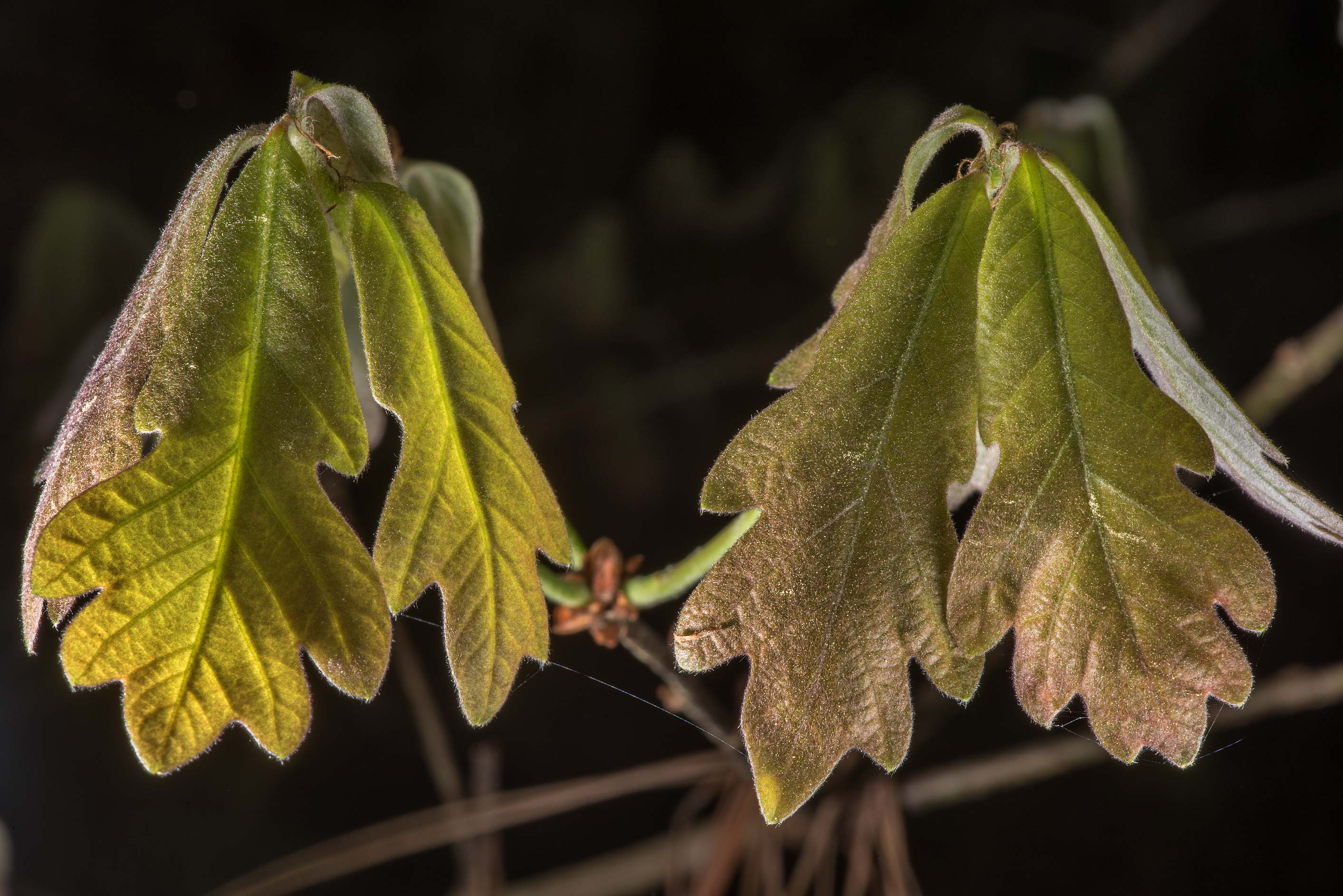 Young leaves of oak on Caney Creek Trail (Little...National Forest near Huntsville. Texas