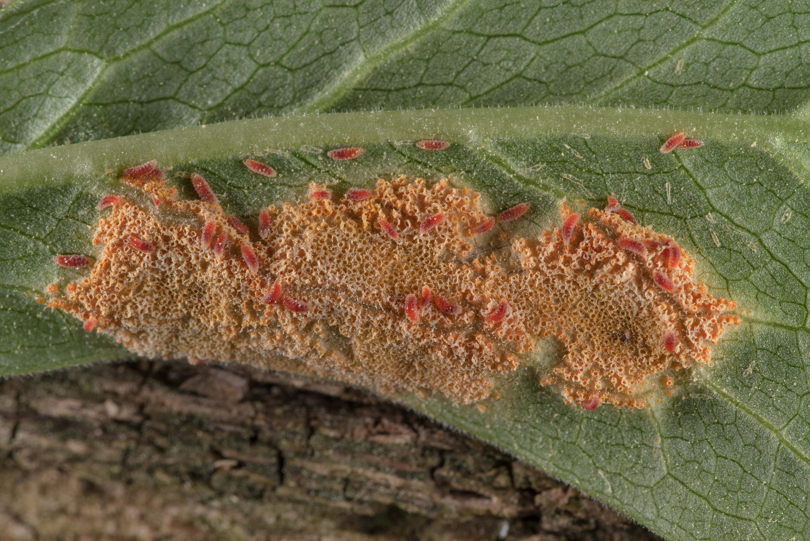 Tiny bright orange cups of mayapple rust fungus...National Forest near Huntsville. Texas