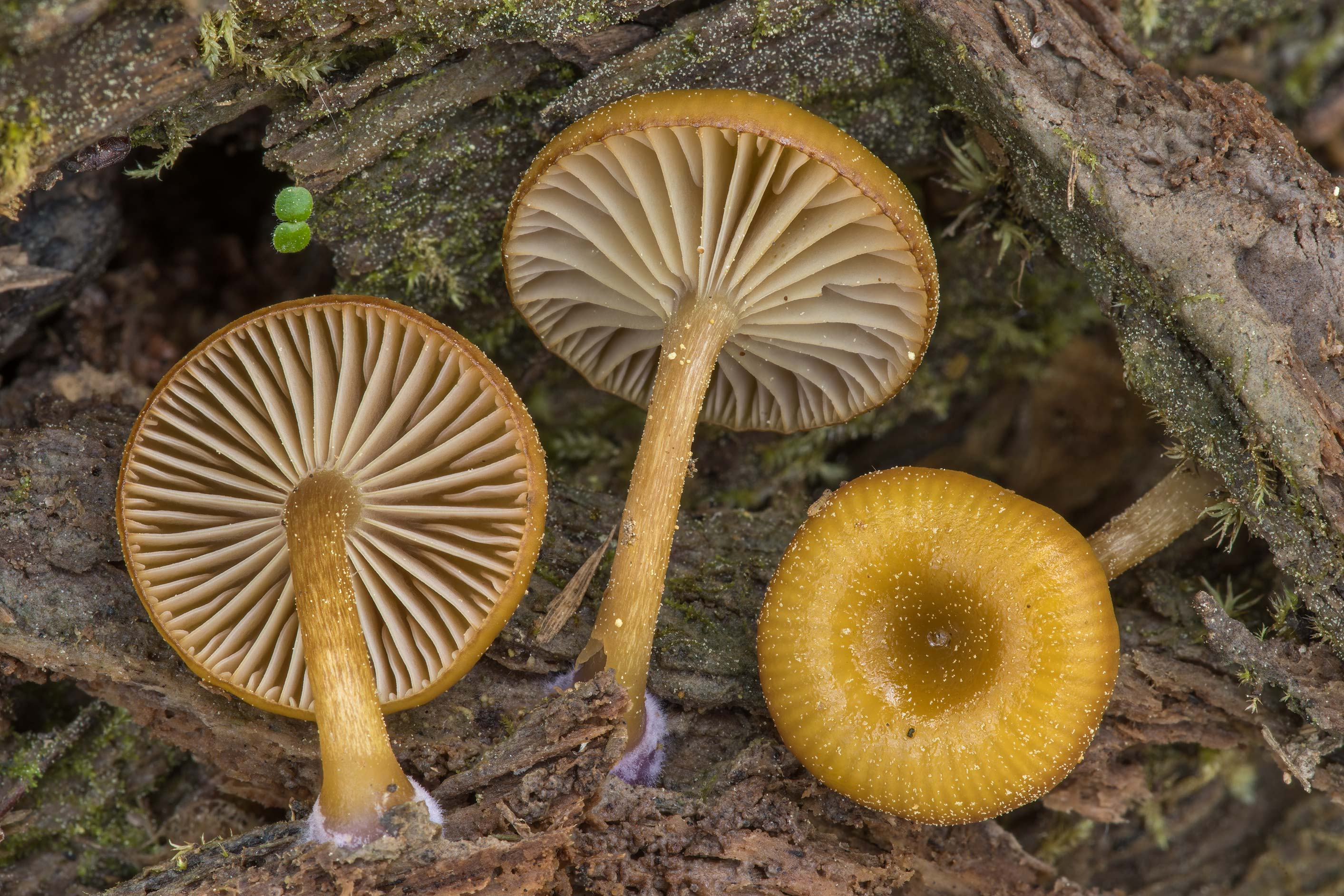 Close up of mushrooms Chromosera cyanophylla on a...National Forest near Huntsville. Texas