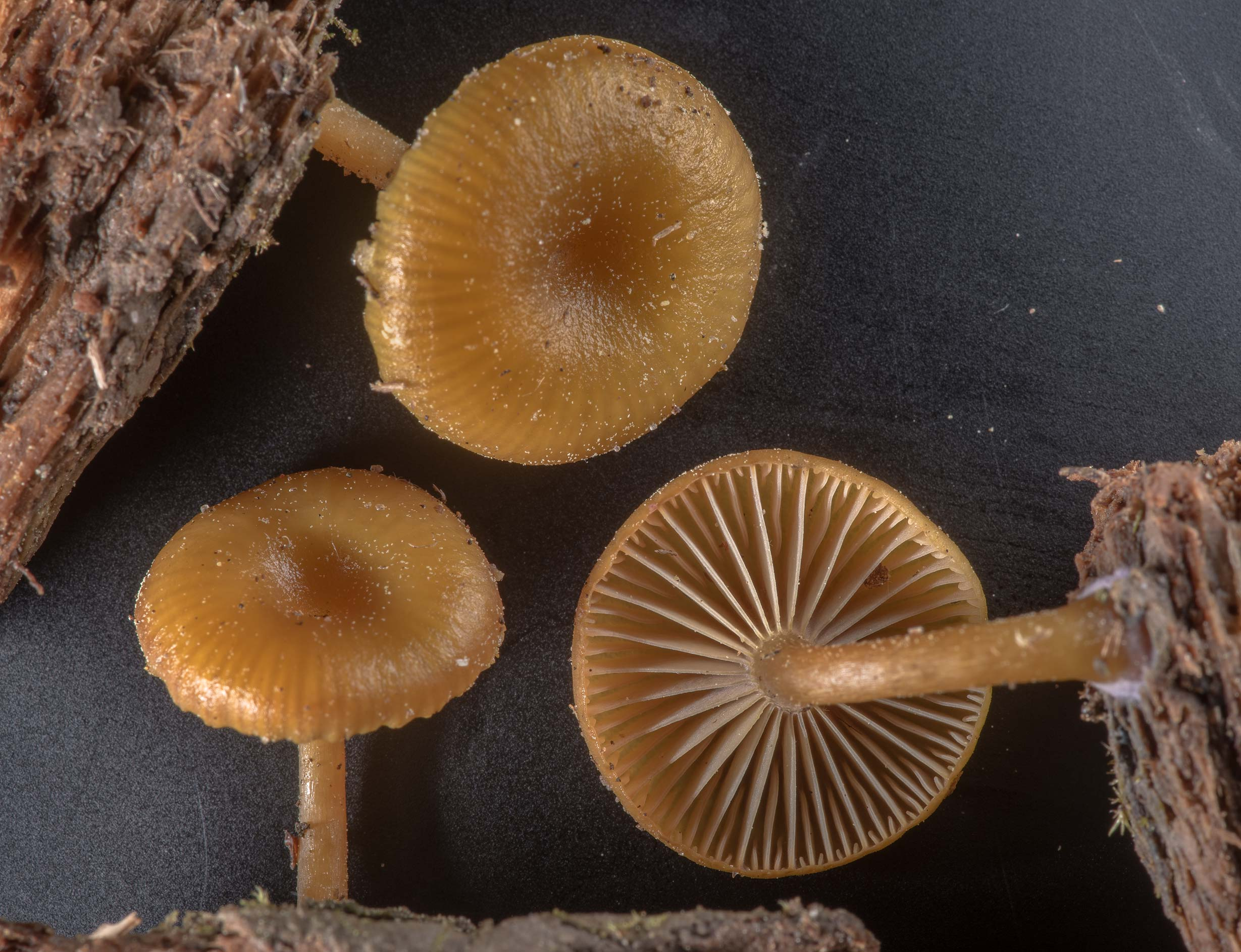 Mushrooms Chromosera cyanophylla with pieces of...National Forest near Huntsville. Texas