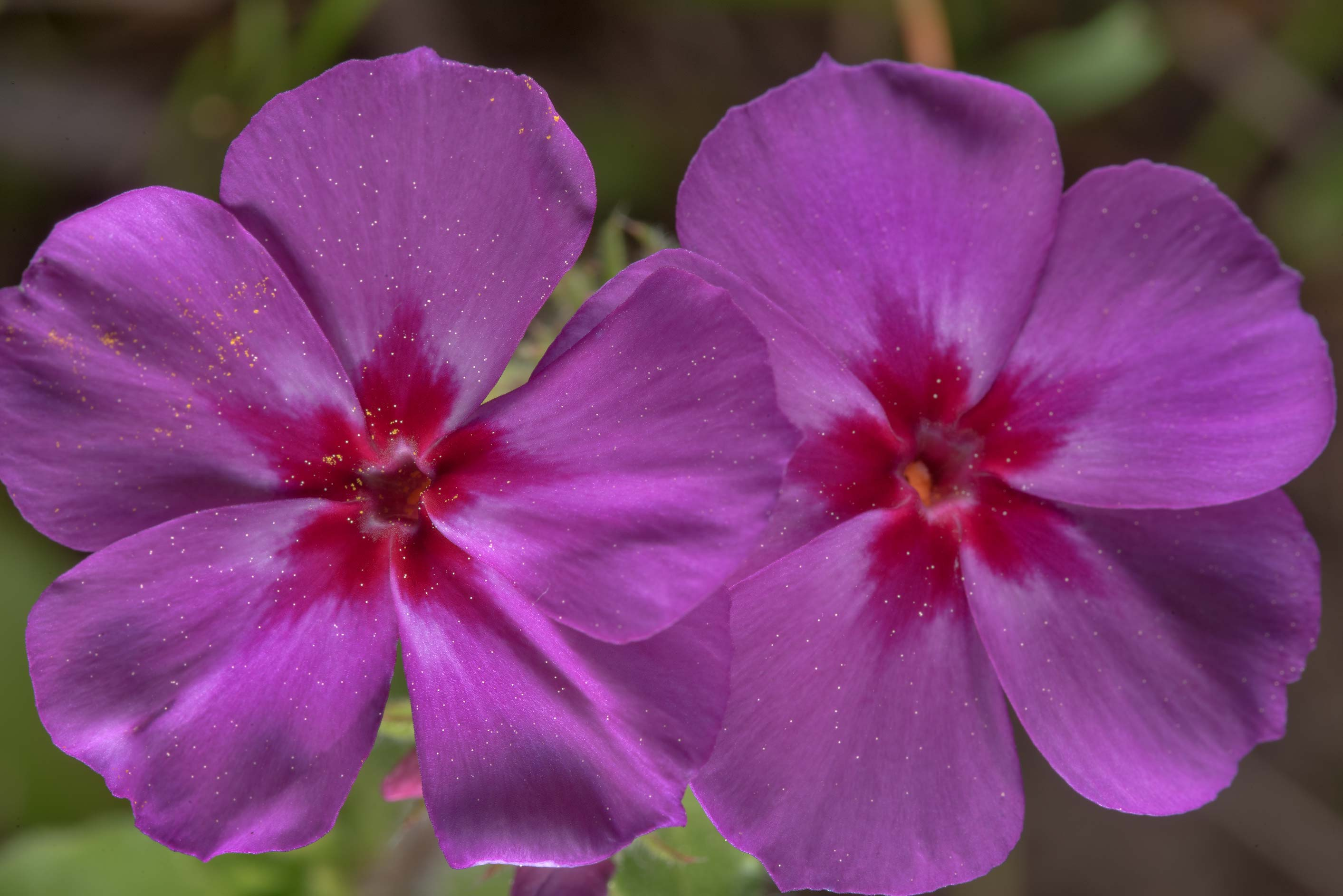 Pink phlox flowers in Washington-on-the-Brazos State Historic Site. Washington, Texas