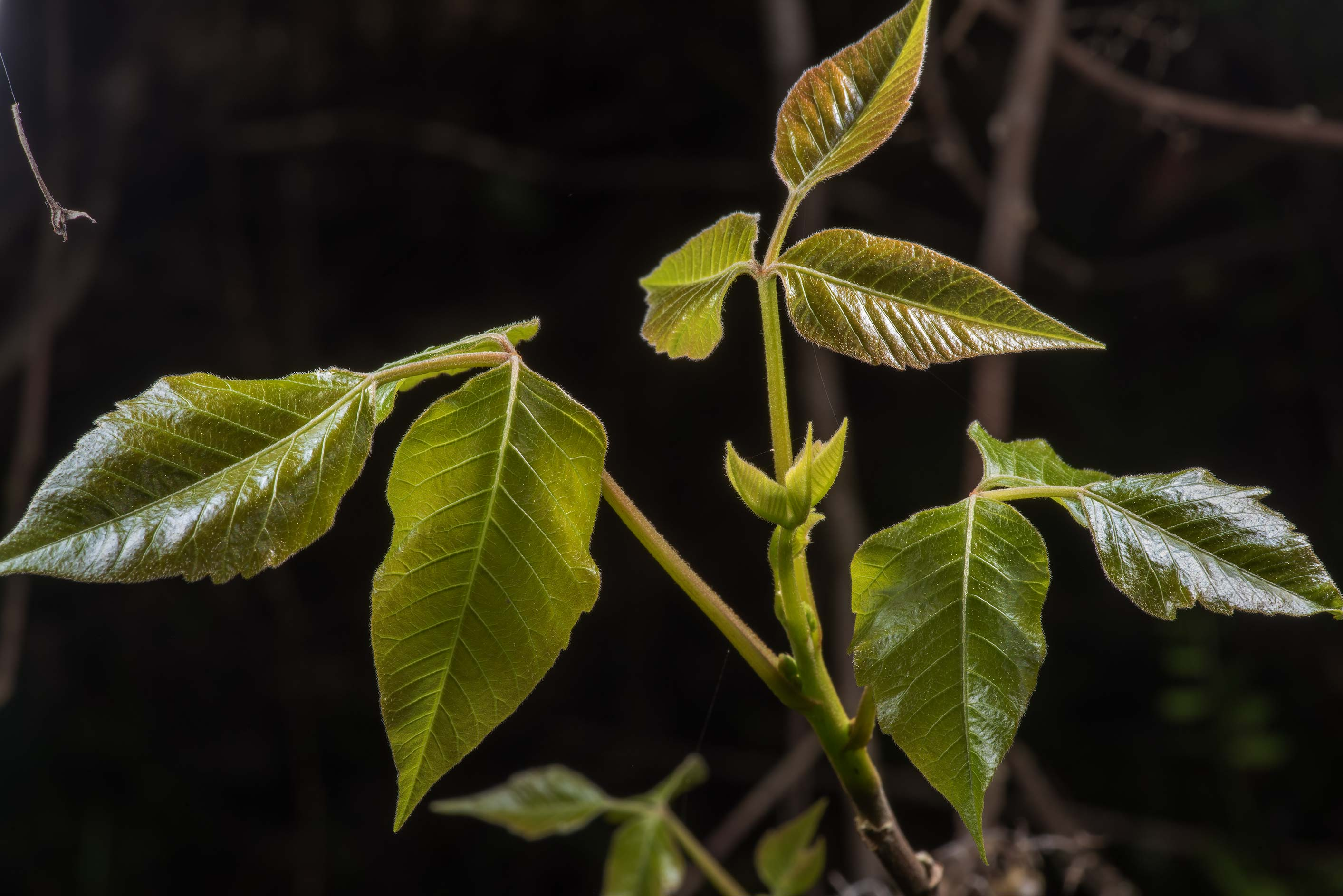 Eastern poison ivy (Toxicodendron radicans) in...State Historic Site. Washington, Texas