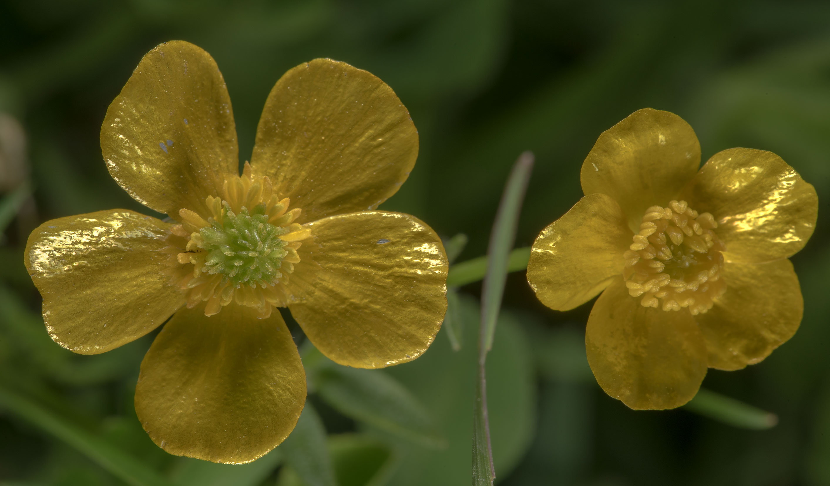 Yellow flowers of buttercup (Ranunculus) near a...State Historic Site. Washington, Texas