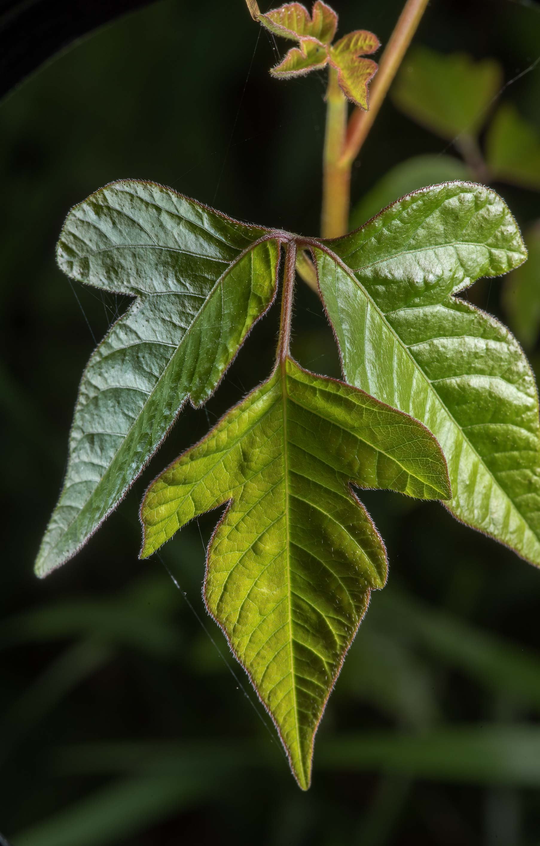 Young leaves of eastern poison ivy (Toxicodendron...State Historic Site. Washington, Texas