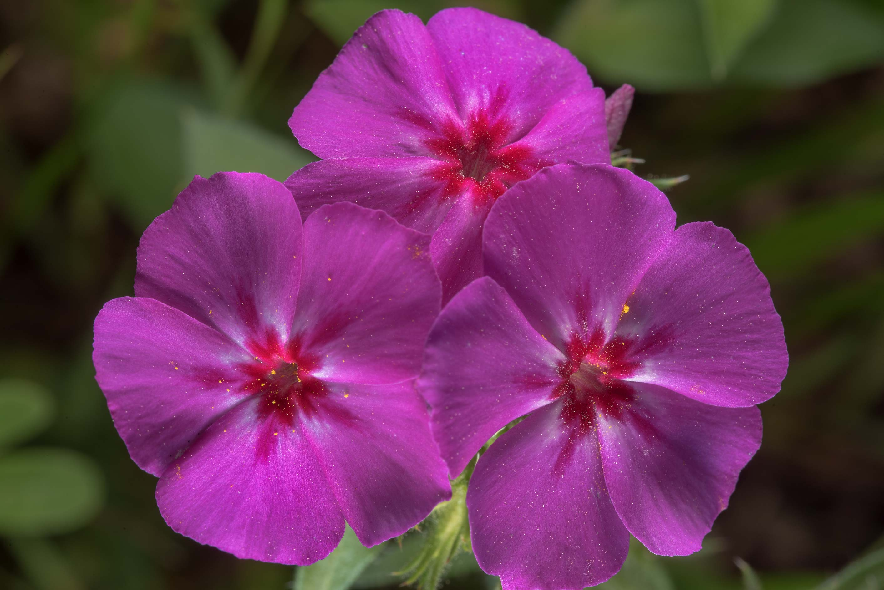 Pink flowers of phlox in Washington-on-the-Brazos State Historic Site. Washington, Texas