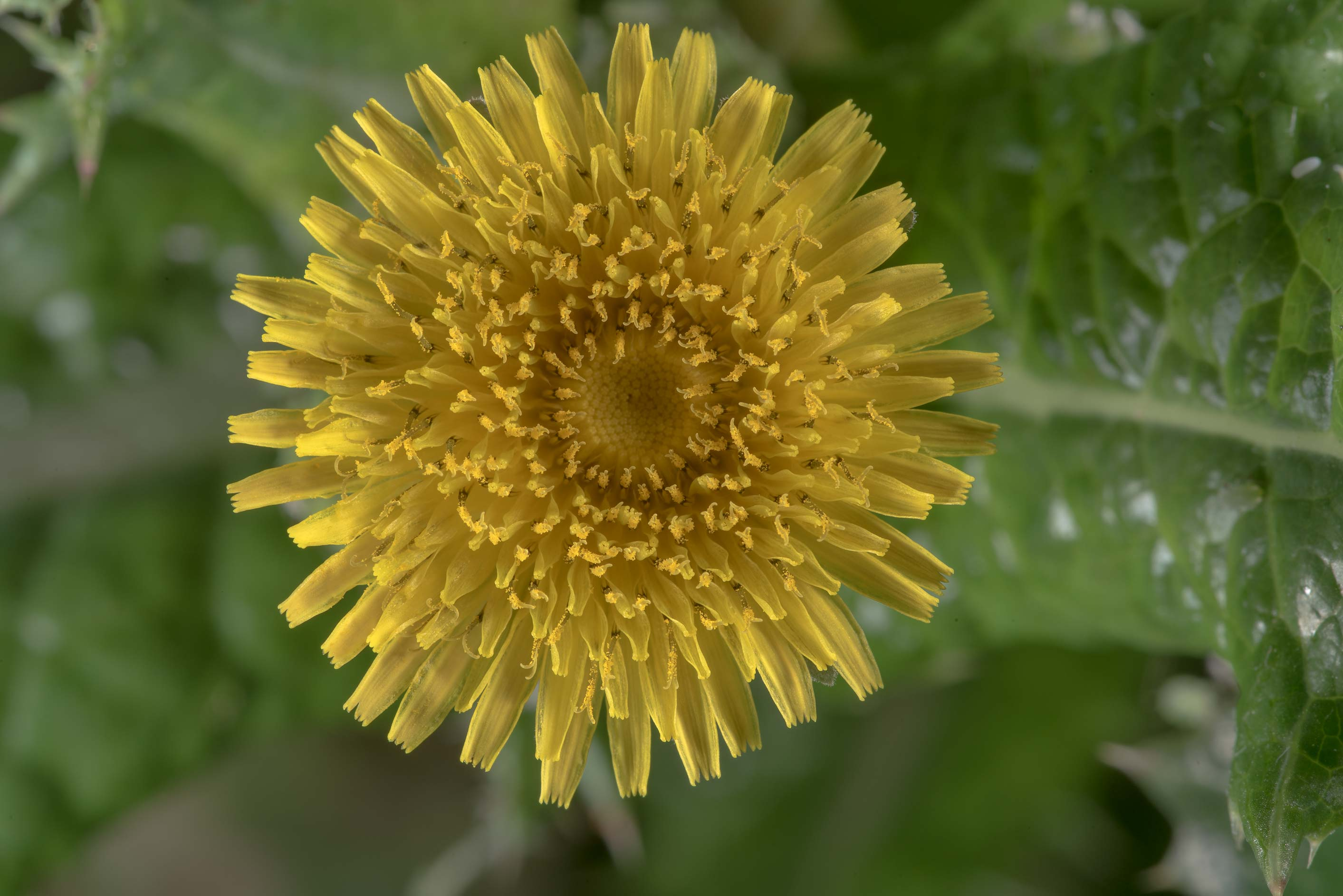 Sow thistle (Sonchus oleraceus) in Antique Rose Emporium. Independence, Texas