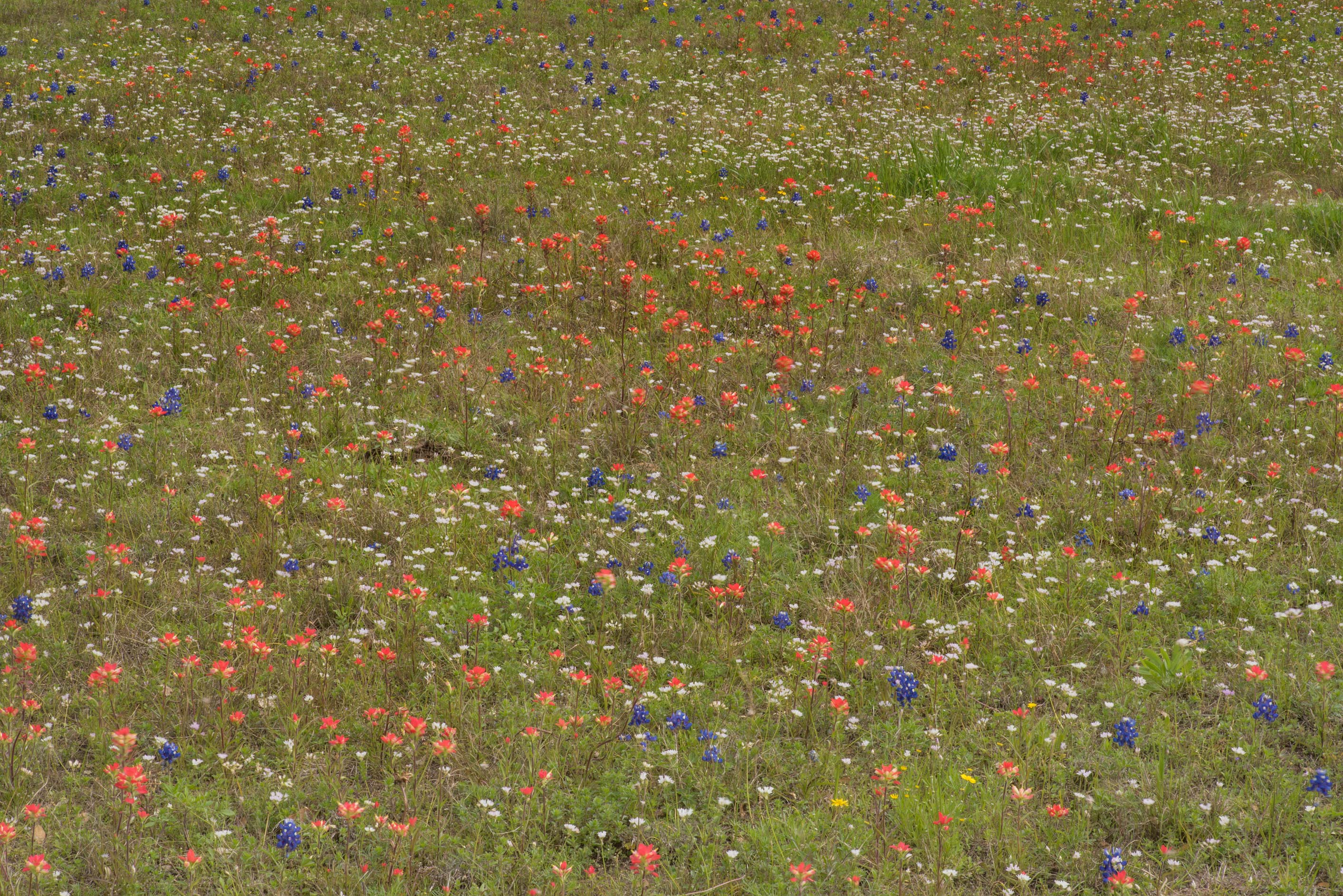 Flower field in Old Baylor Park. Independence, Texas
