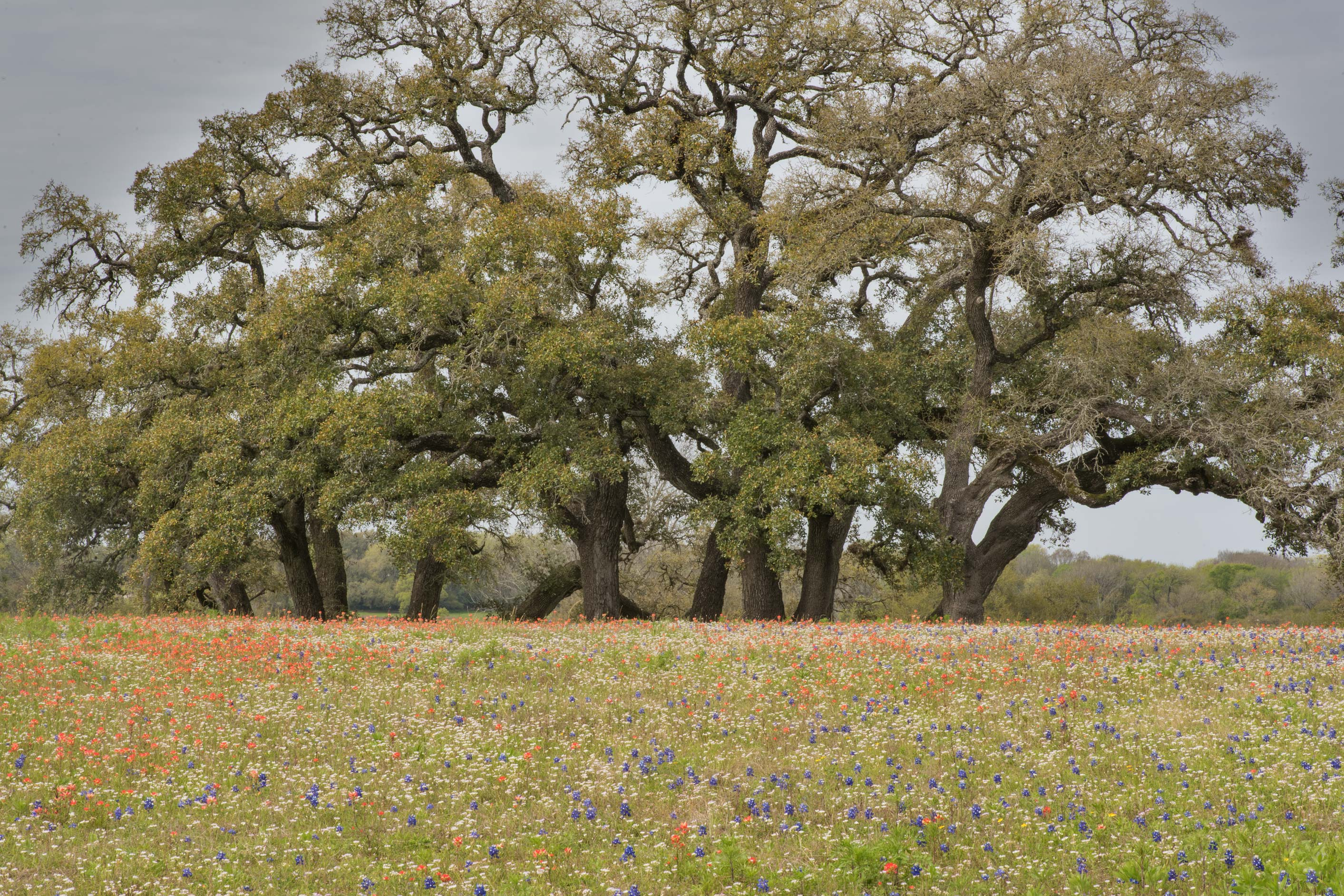 Old oaks in Old Baylor Park. Independence, Texas