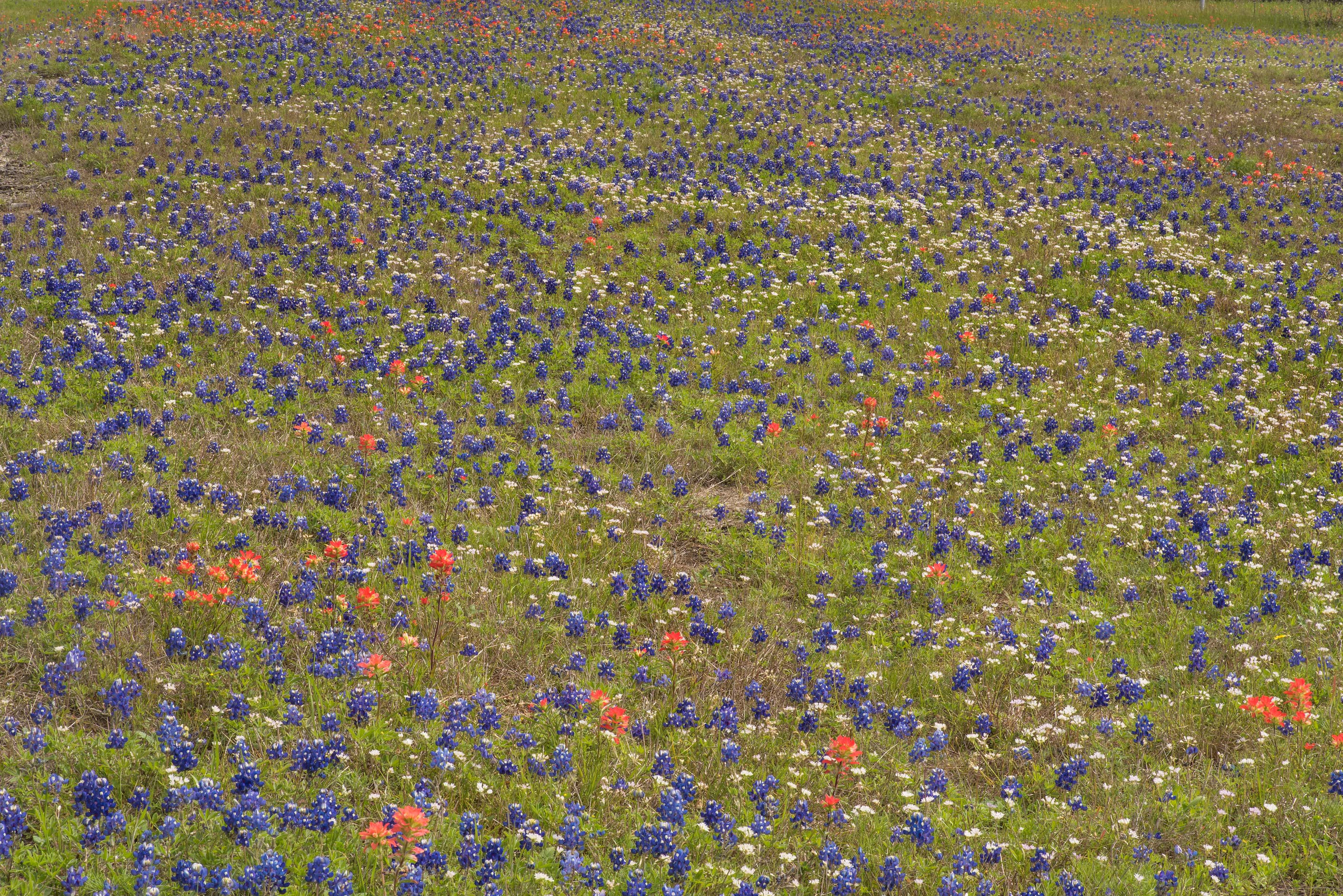 Bluebonnet (Lupinus) and paintbrush in Old Baylor Park. Independence, Texas