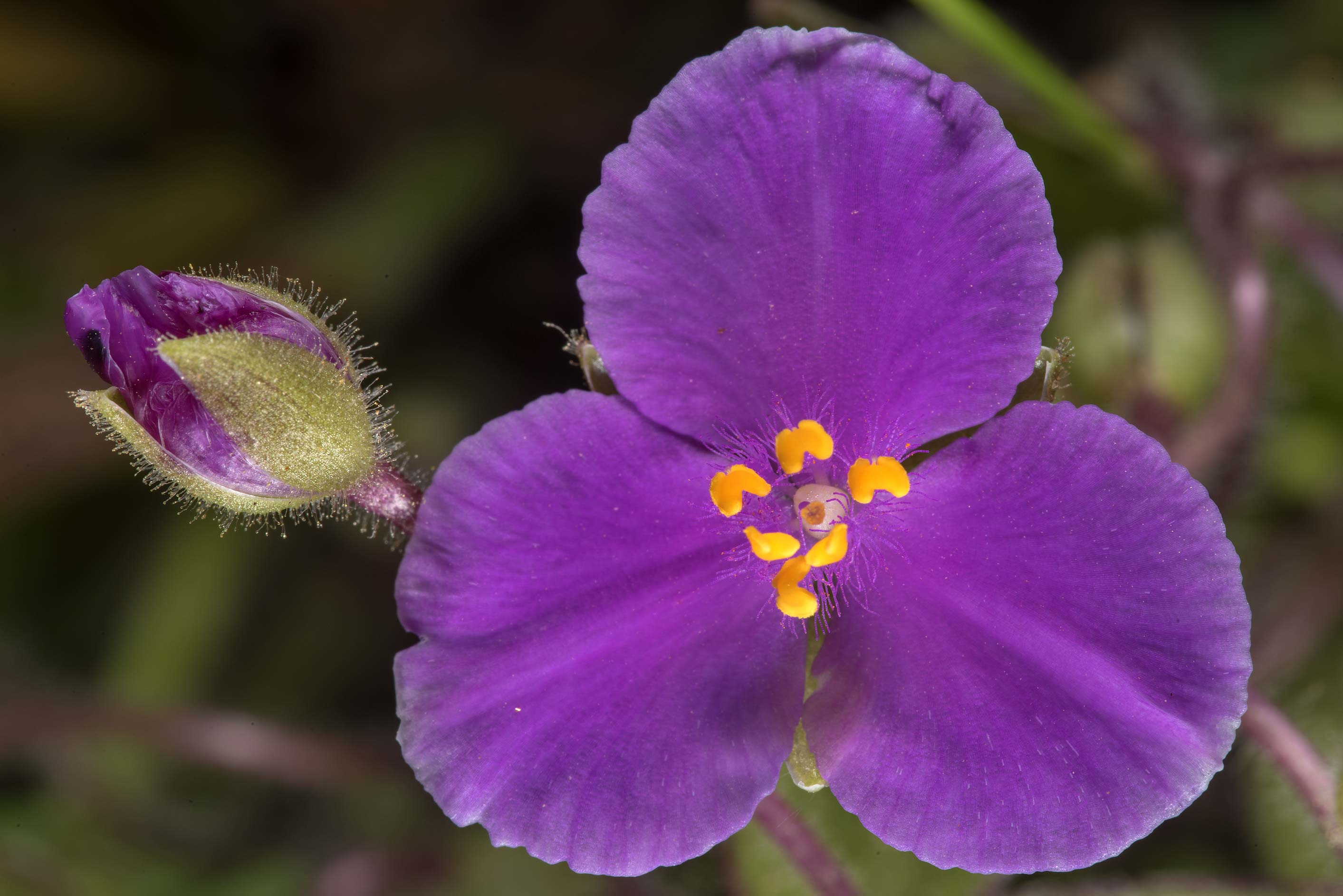 Pink flower of spiderwort (Tradescantia) in...State Historic Site. Washington, Texas