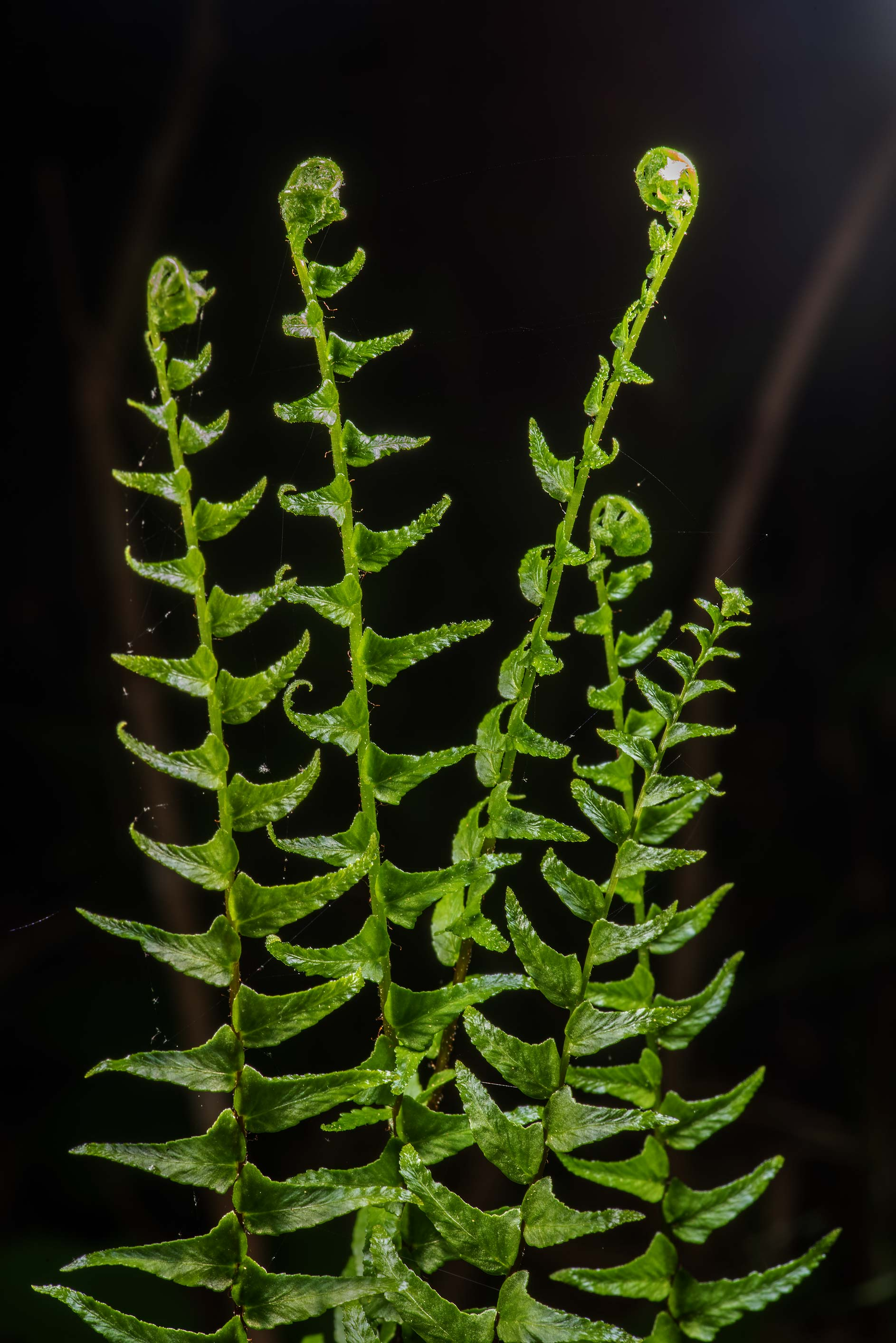 Christmas fern (Polystichum acrostichoides) on...National Forest near Huntsville. Texas