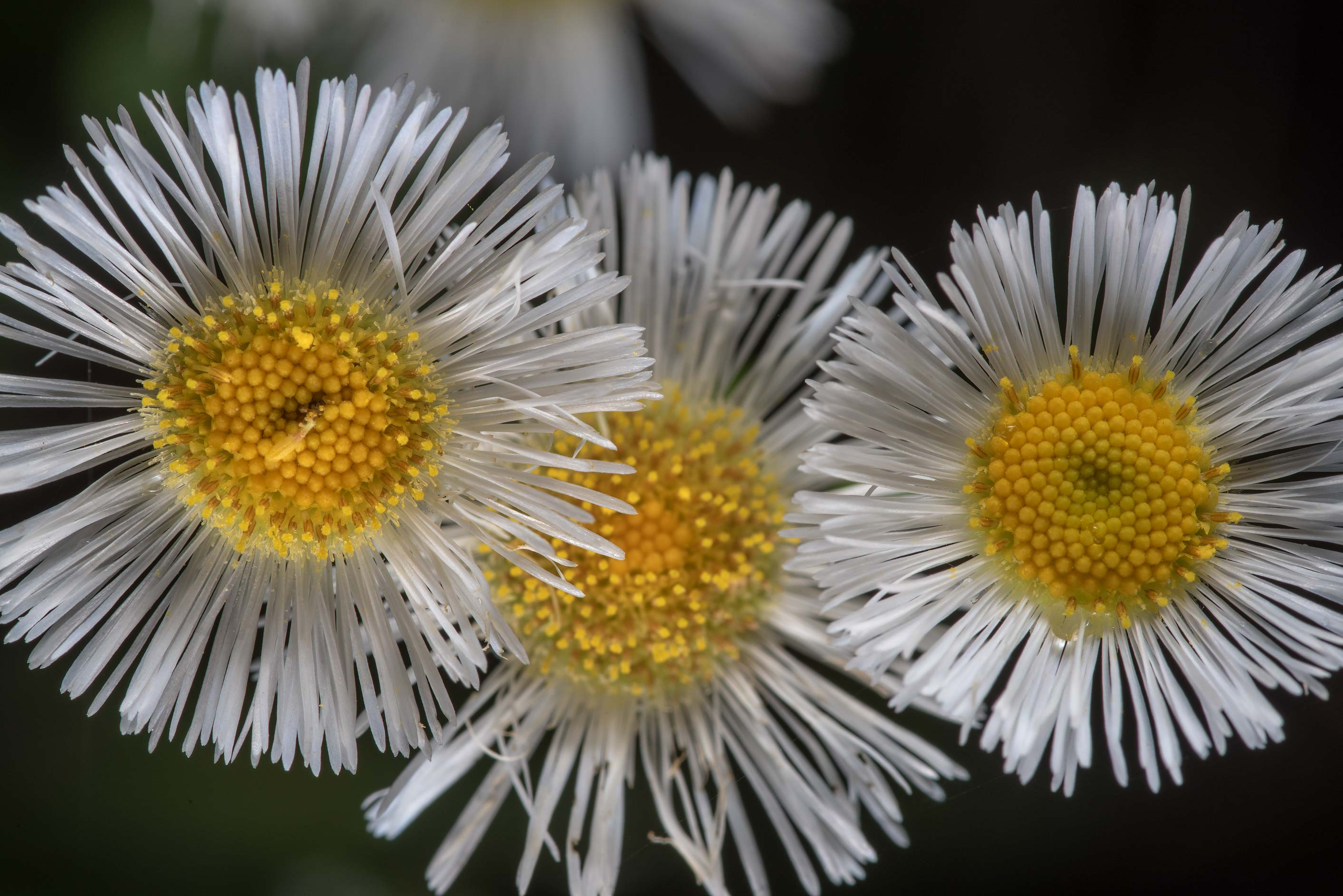 Fleaban daisy (Erigeron) on Caney Creek Trail...National Forest near Huntsville. Texas