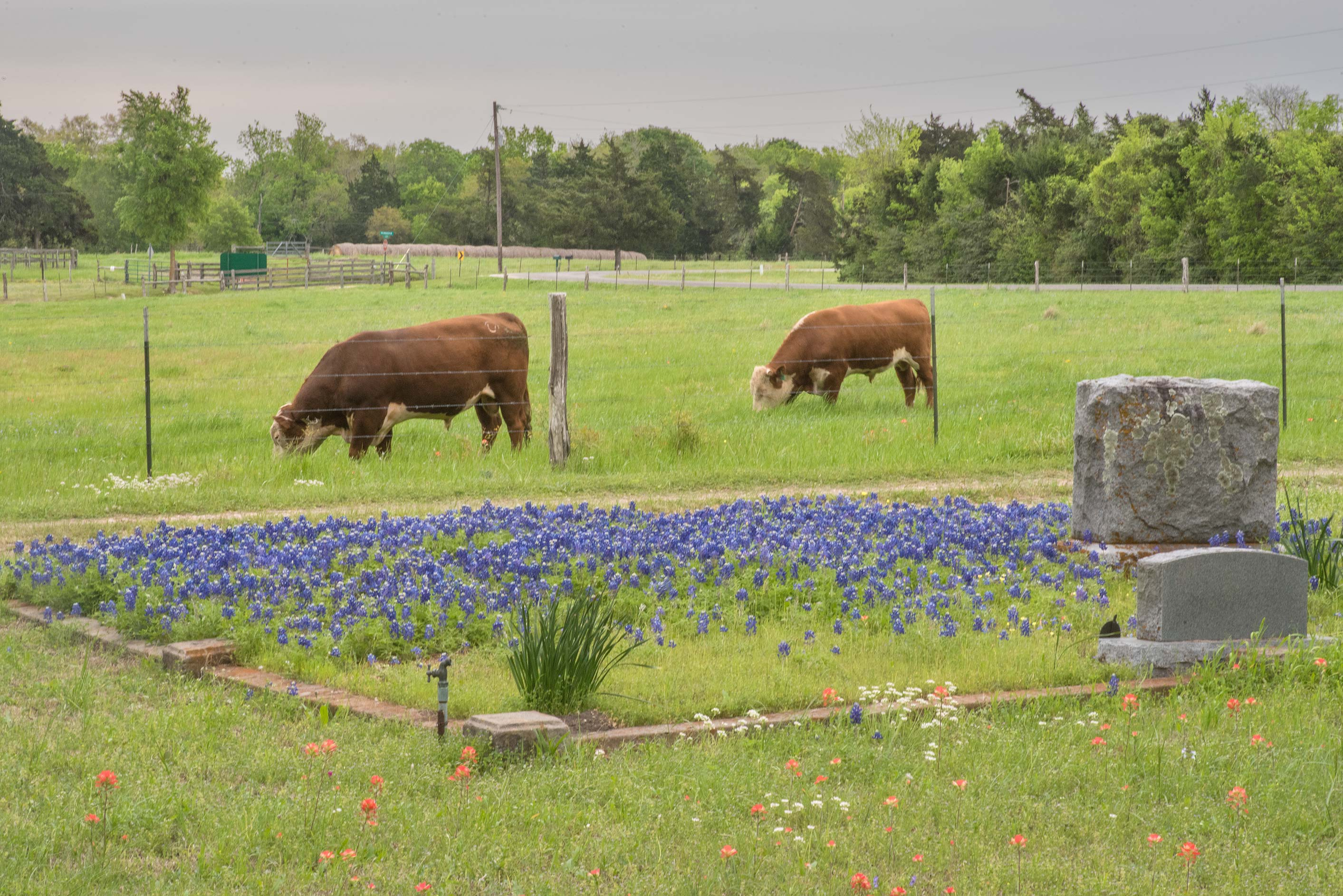 Bluebonnets and cows in Historic Independence Cemetery near Independence. Texas