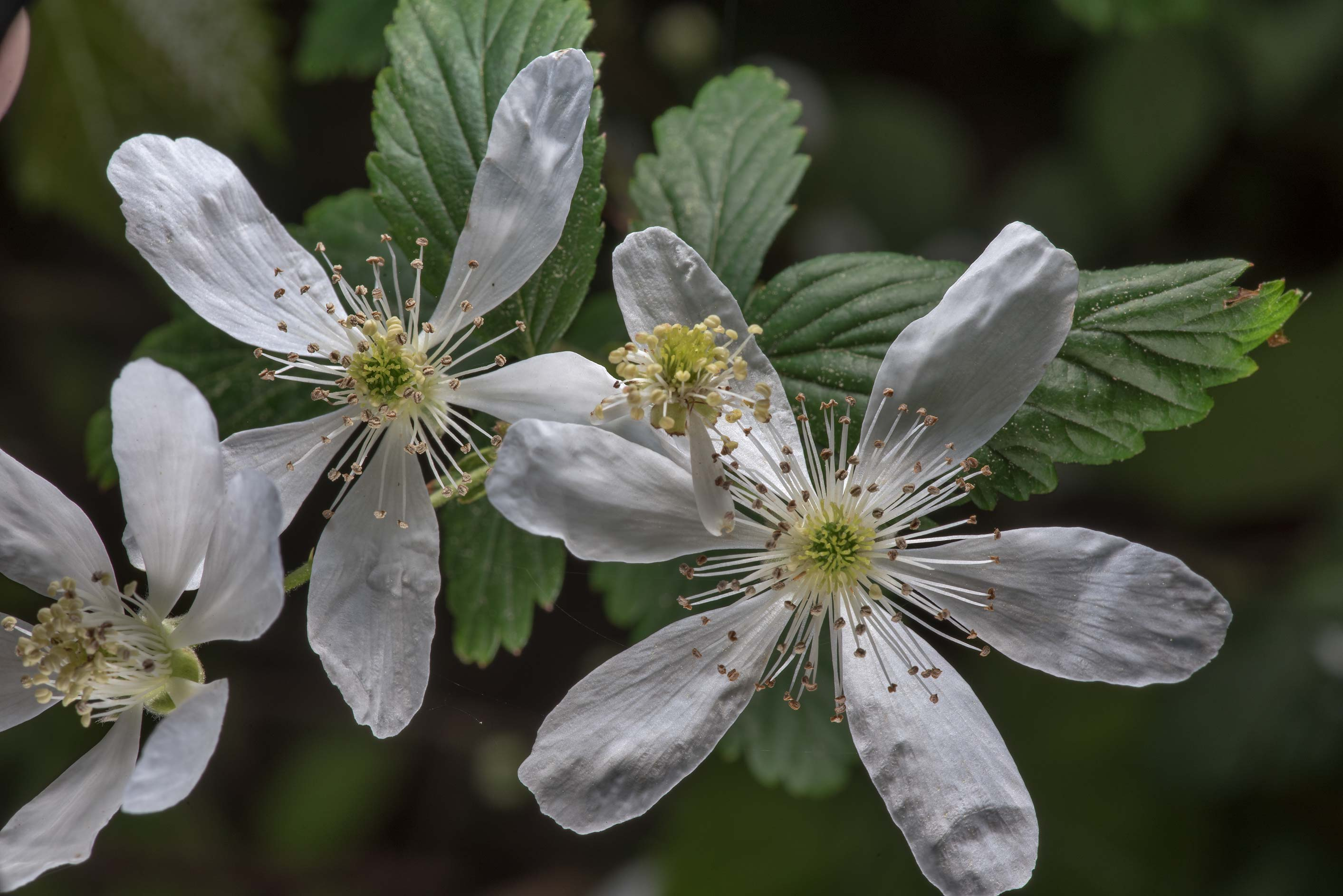 Blooming blackberry on Lone Star Hiking Trail...National Forest. Huntsville, Texas