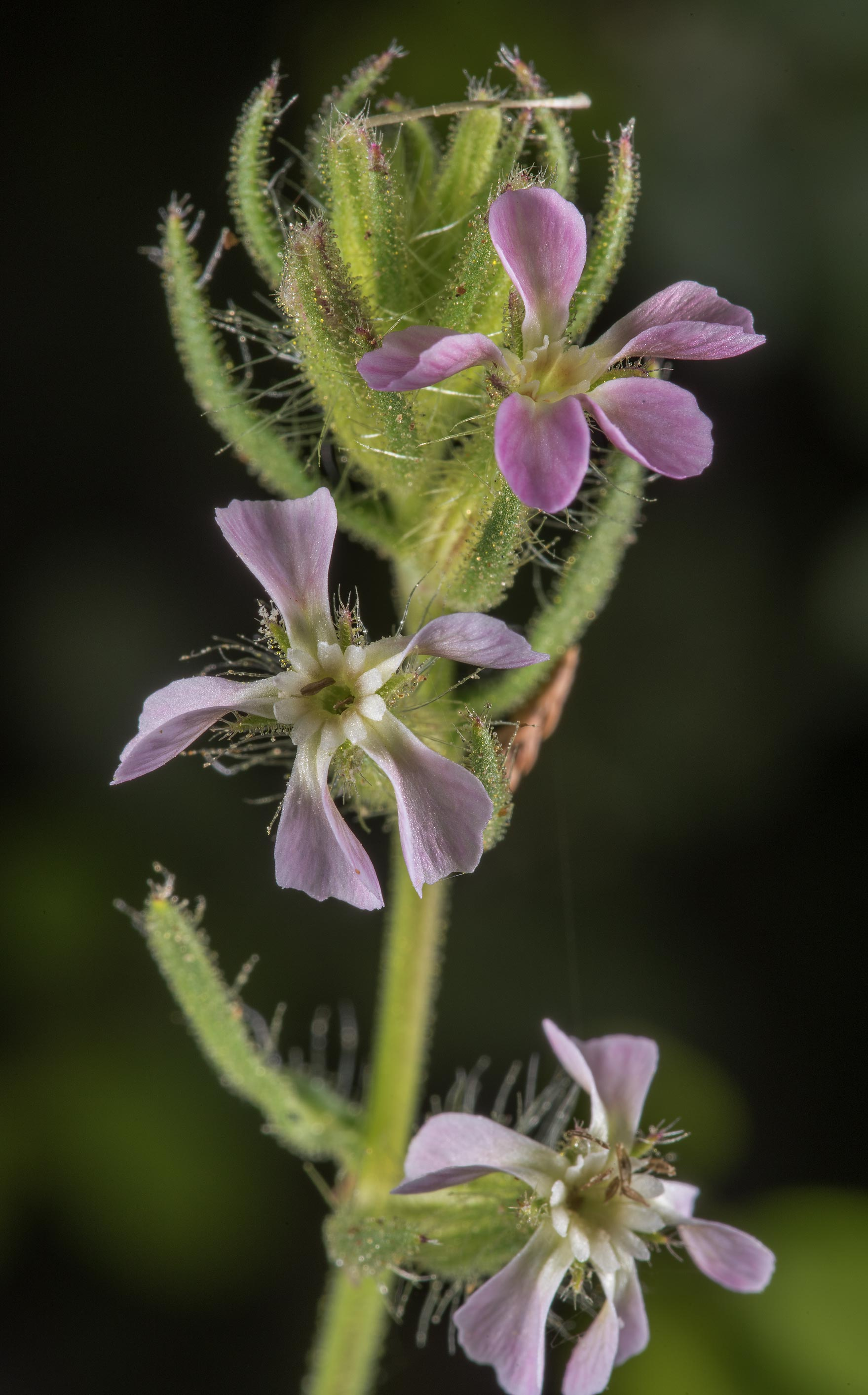 Catchfly (Silene gallica) in David E. Schob...Ashburn St.. College Station, Texas