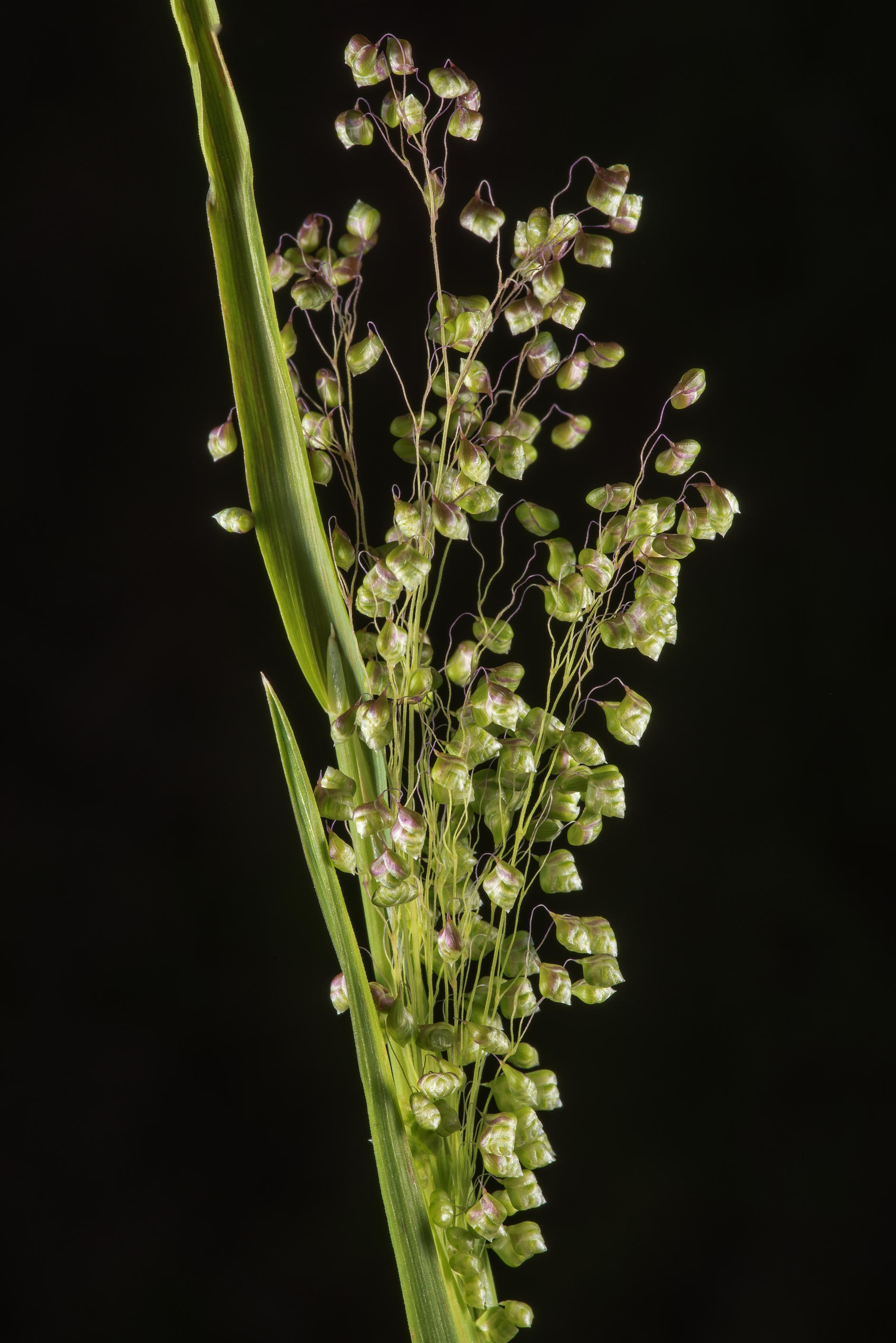 Little quaking grass (Briza minor) in David E...Ashburn St.. College Station, Texas