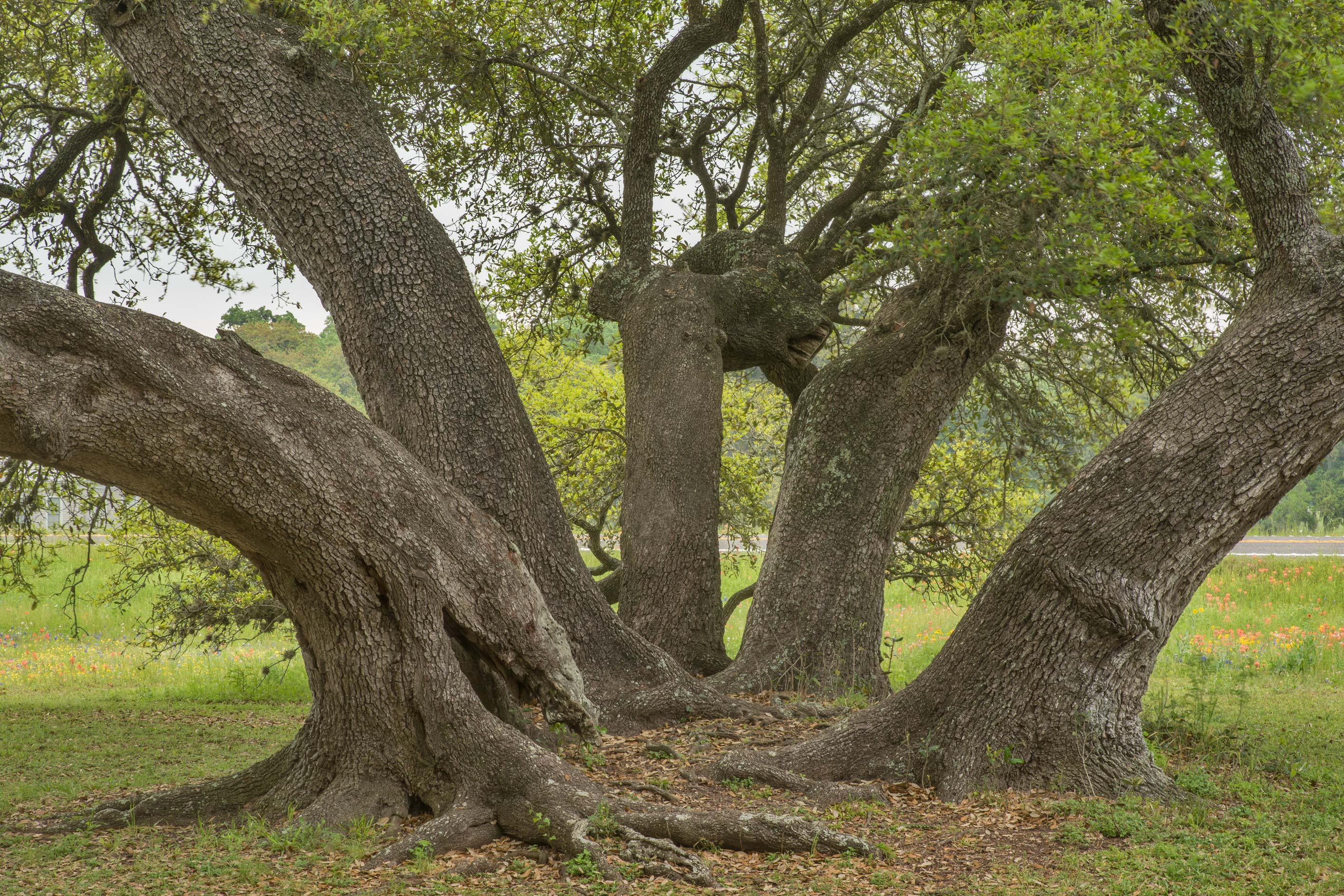 Oaks in Old Baylor Park. Independence, Texas