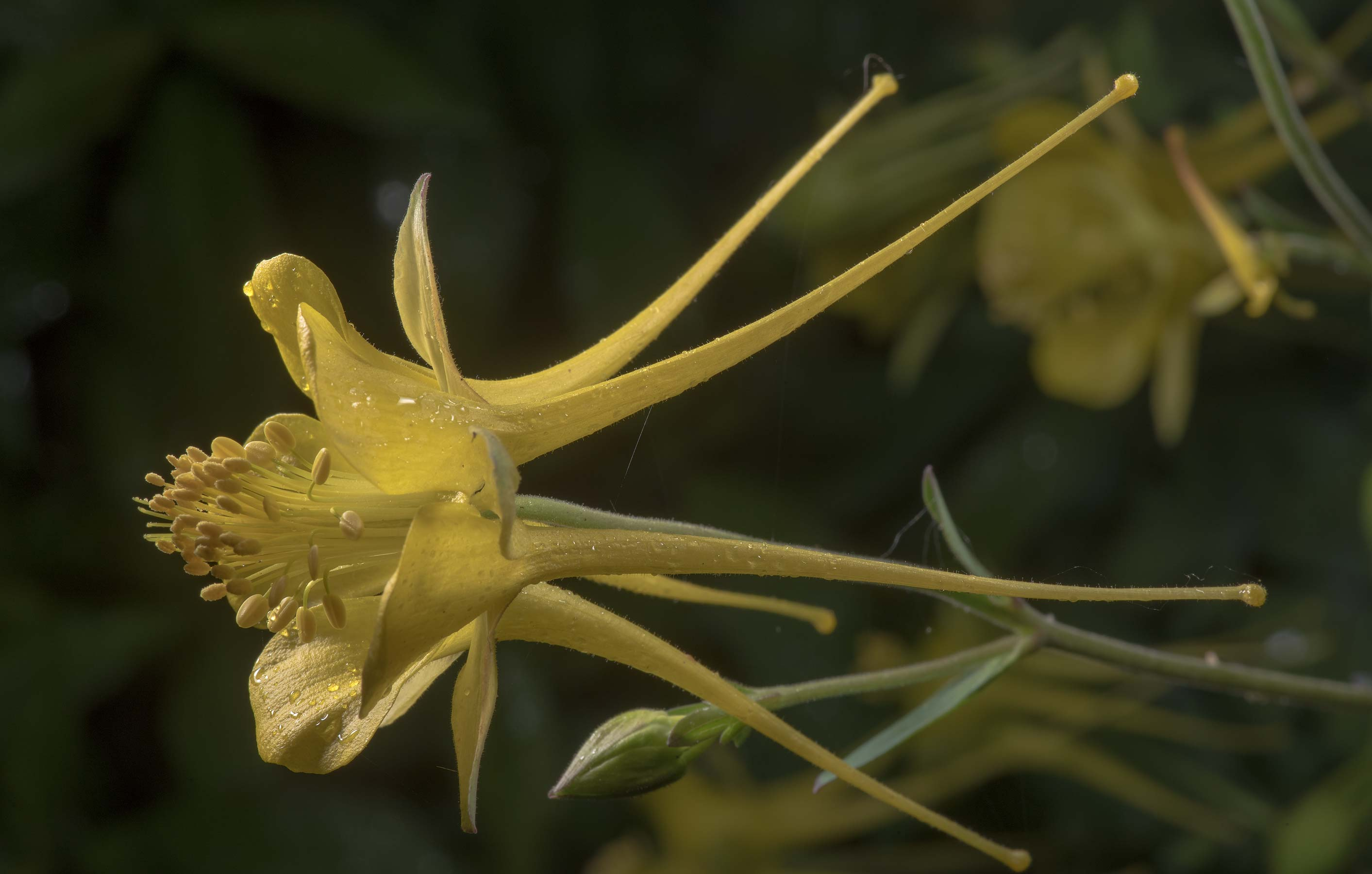 Yellow columbine (Aquilegia) in Antique Rose Emporium. Independence, Texas